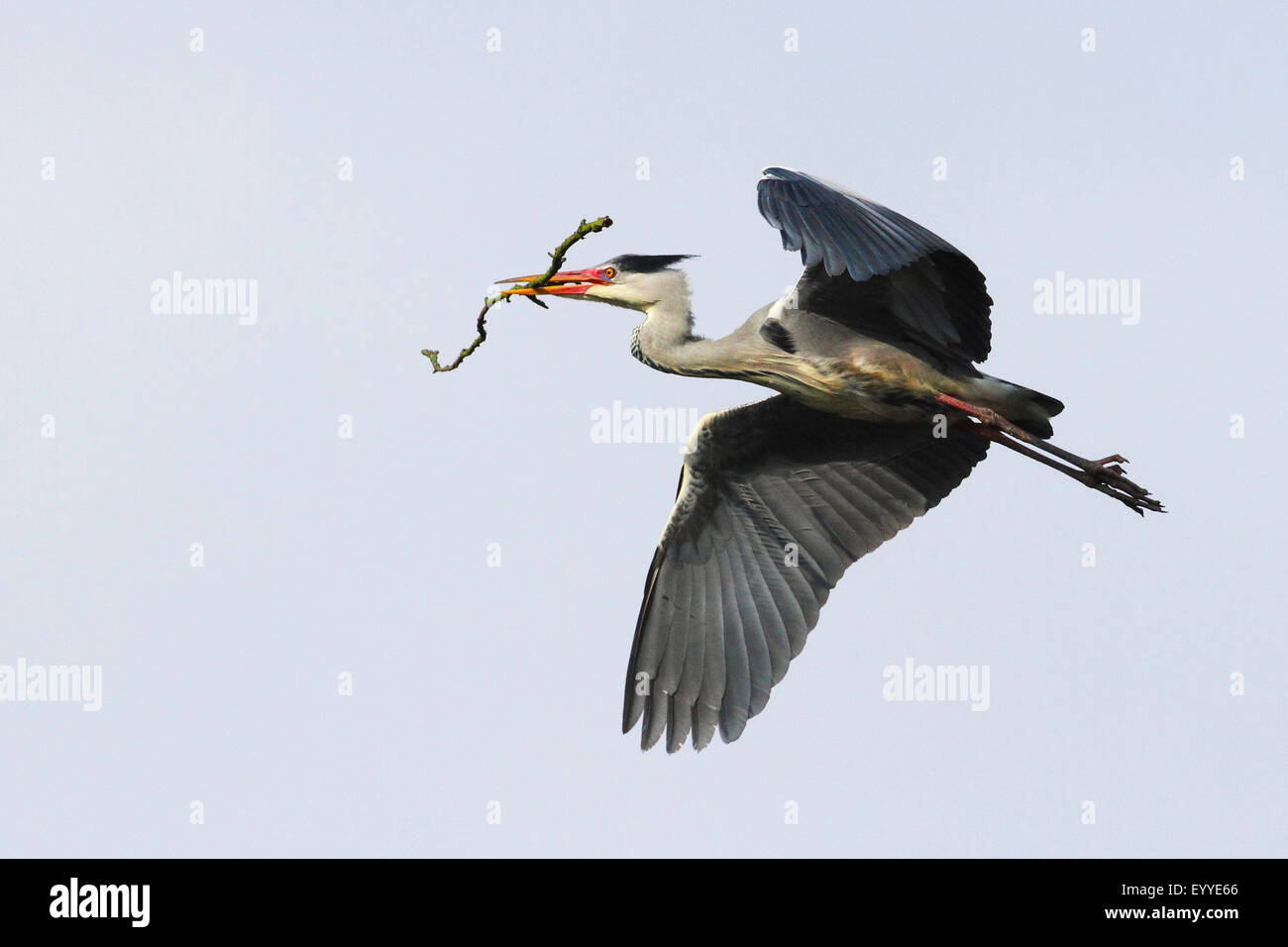 grey heron (Ardea cinerea), flys with nesting material in its bill, Germany - Stock Image