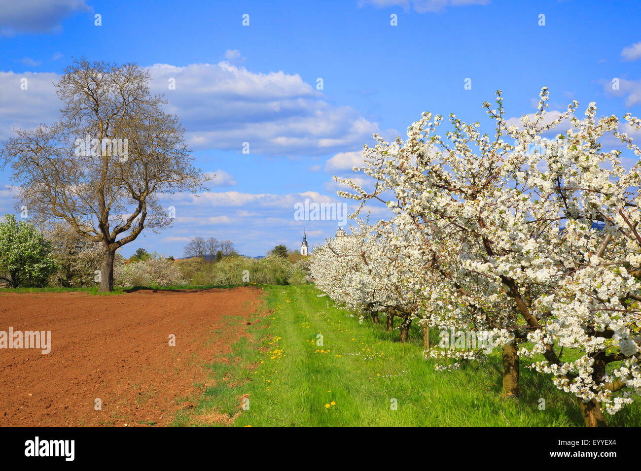 flowering cherry trees stock photos flowering cherry. Black Bedroom Furniture Sets. Home Design Ideas