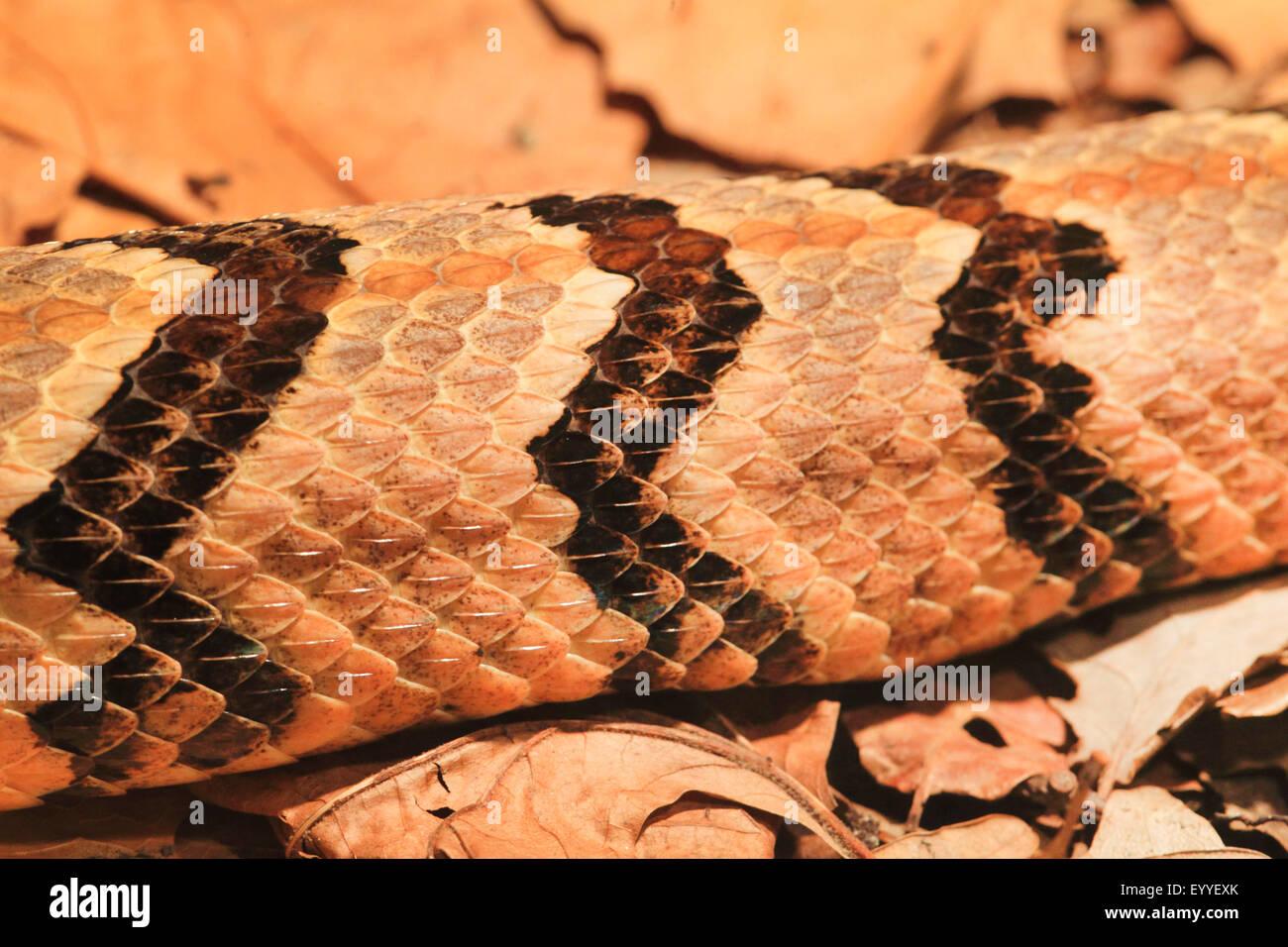timber rattlesnake (Crotalus horridus), detail of colouration - Stock Image
