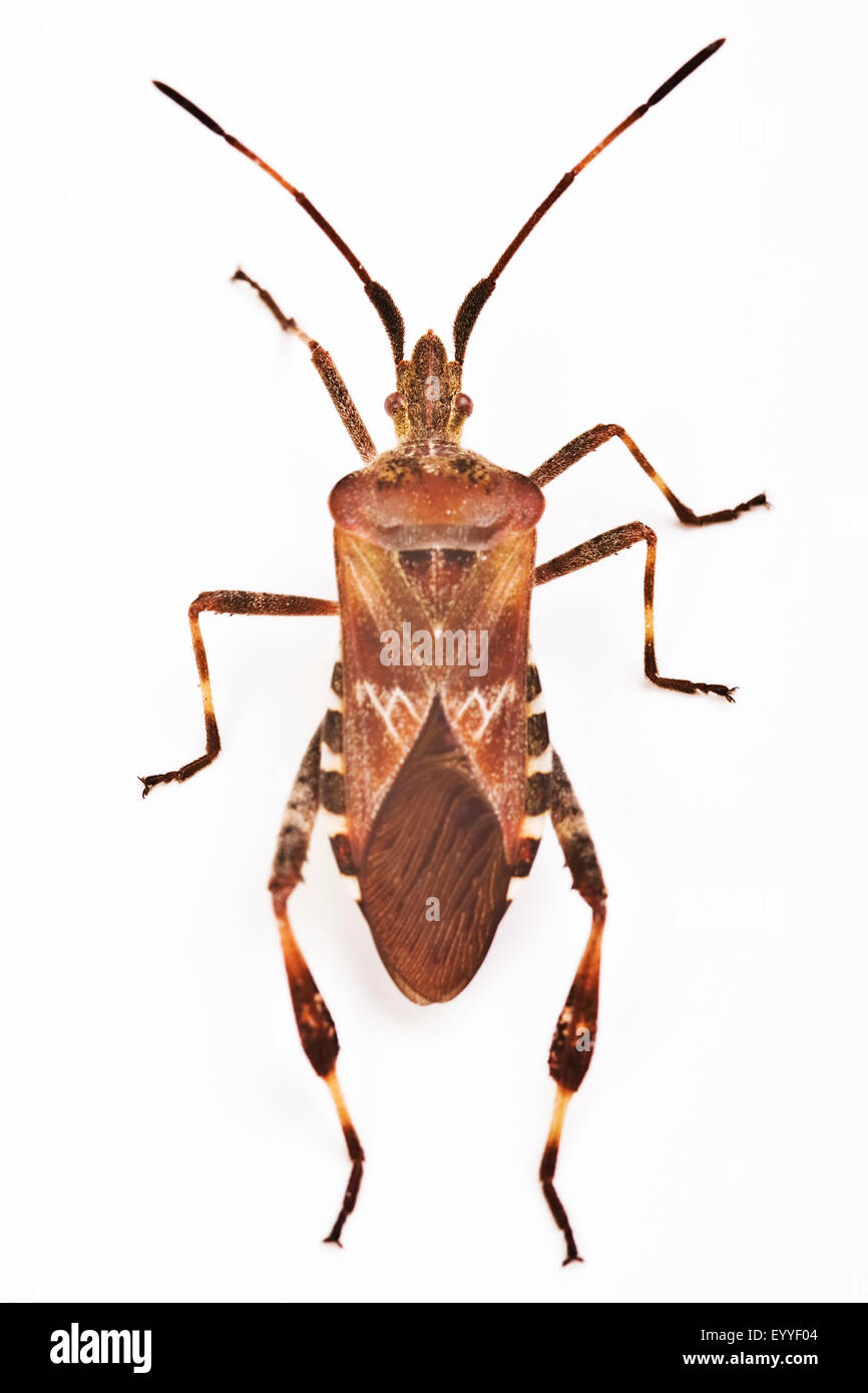 Western conifer seed bug (Leptoglossus occidentalis), cut-out - Stock Image