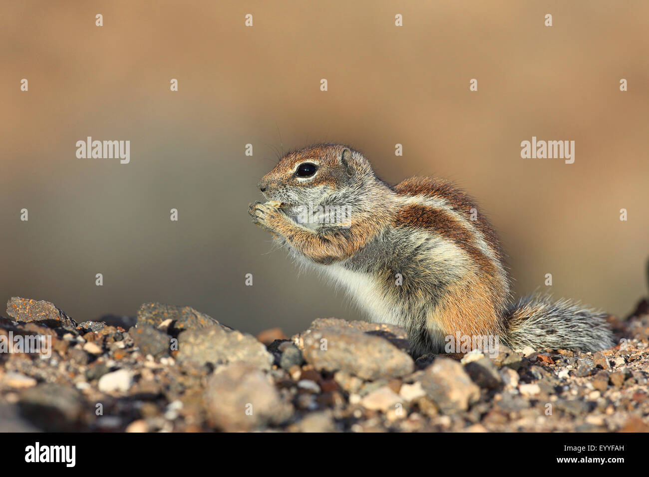 barbary ground squirrel, North African ground squirrel (Atlantoxerus getulus), sits on the ground and is eating, - Stock Image