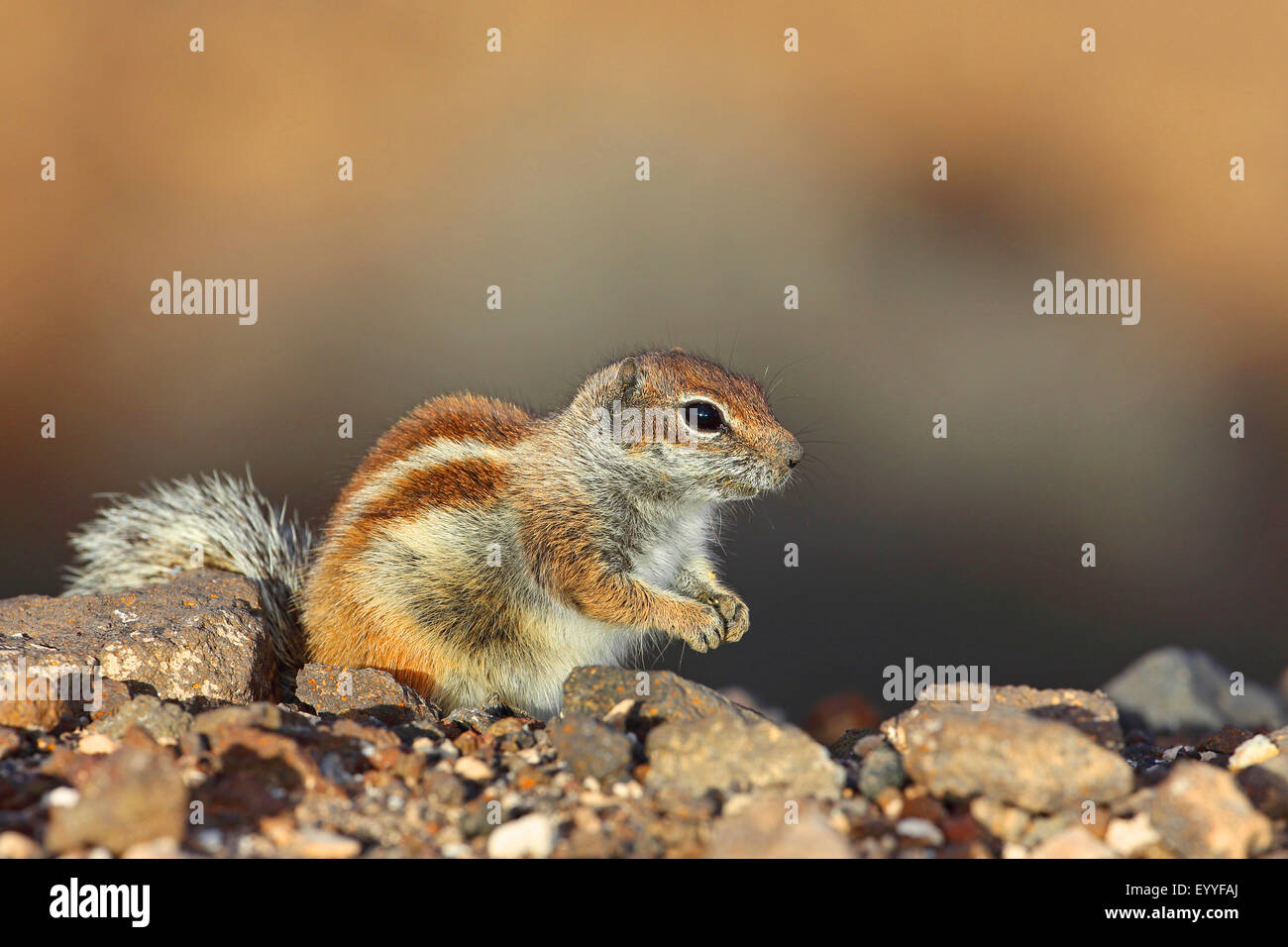 barbary ground squirrel, North African ground squirrel (Atlantoxerus getulus), sits on a stone, Canary Islands, - Stock Image