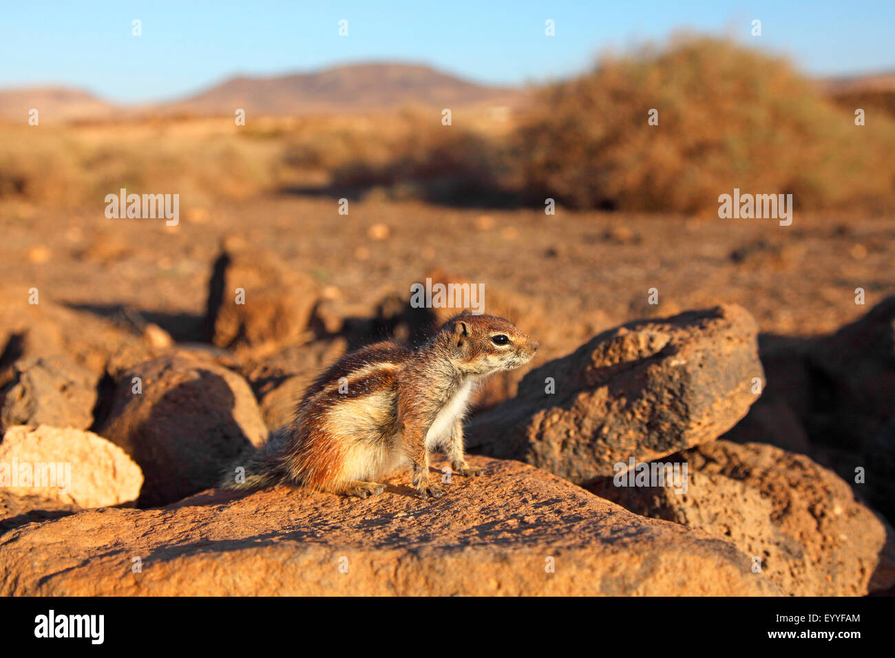barbary ground squirrel, North African ground squirrel (Atlantoxerus getulus), sits on a stonewall in semi-desert, - Stock Image