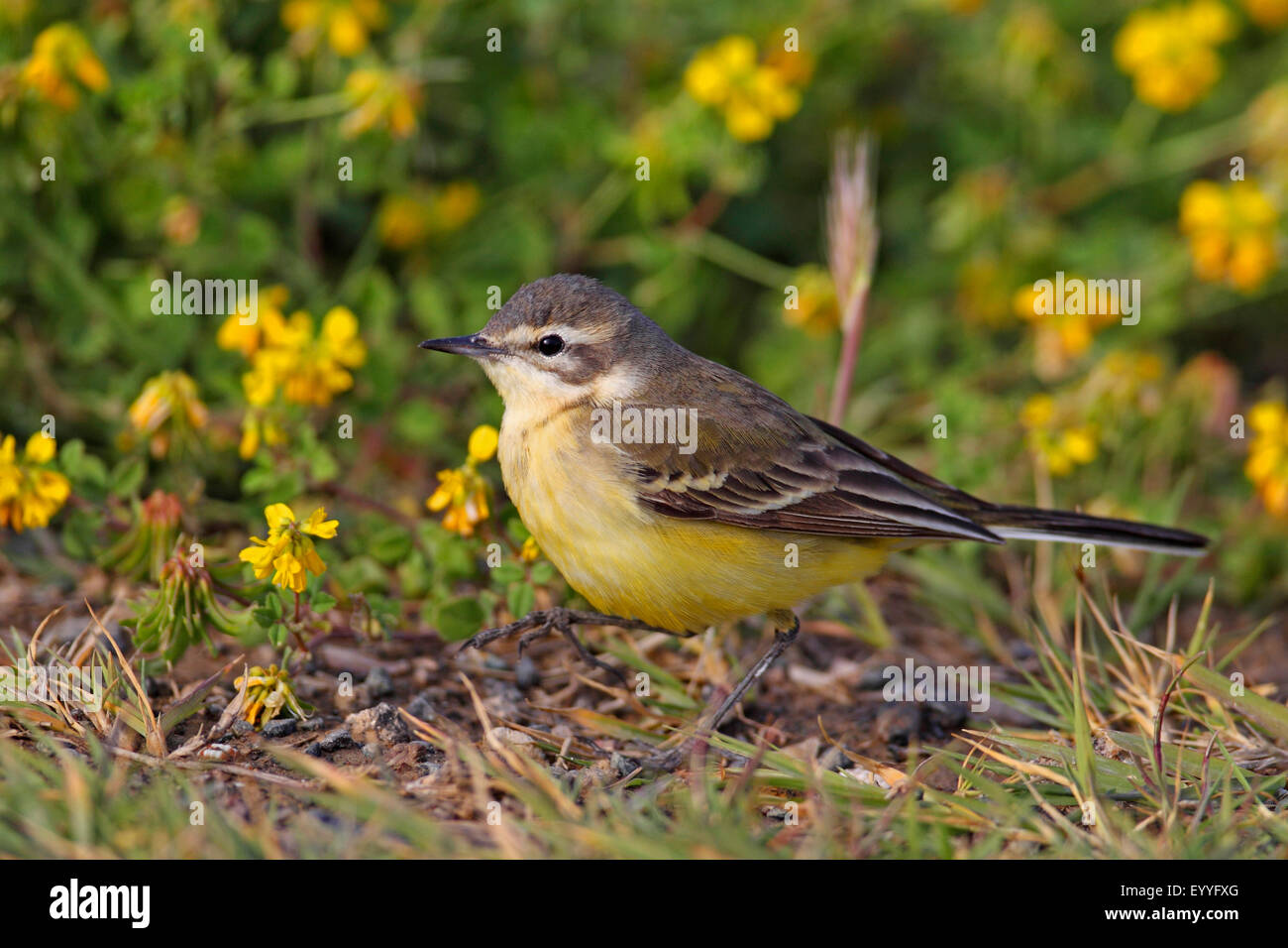 Yellow wagtail (Motacilla flava flava), female stands on the ground, Greece, Lesbos - Stock Image