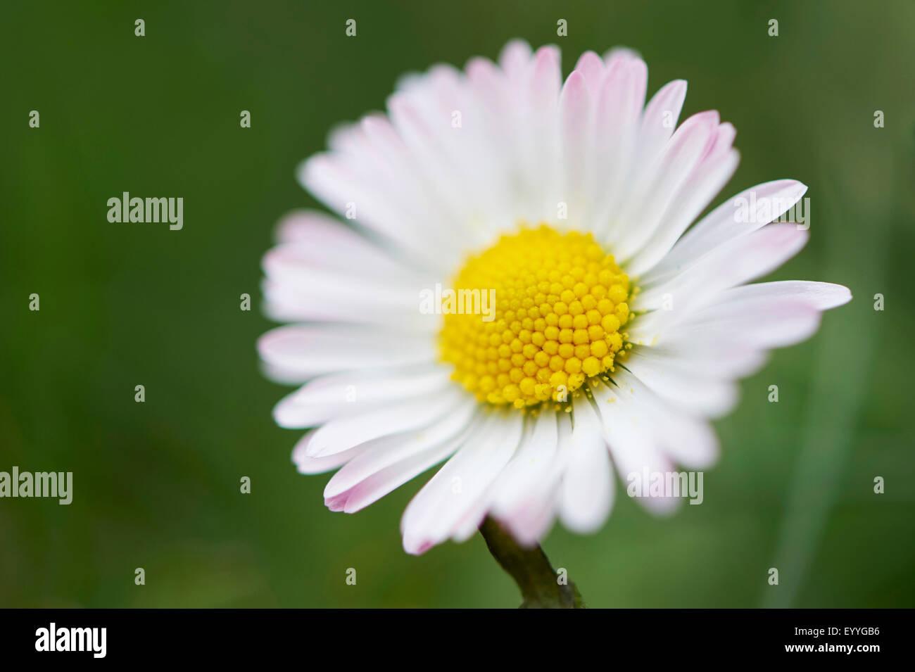 common daisy, lawn daisy, English daisy (Bellis perennis), flower, Germany, Bavaria, Oberpfalz Stock Photo