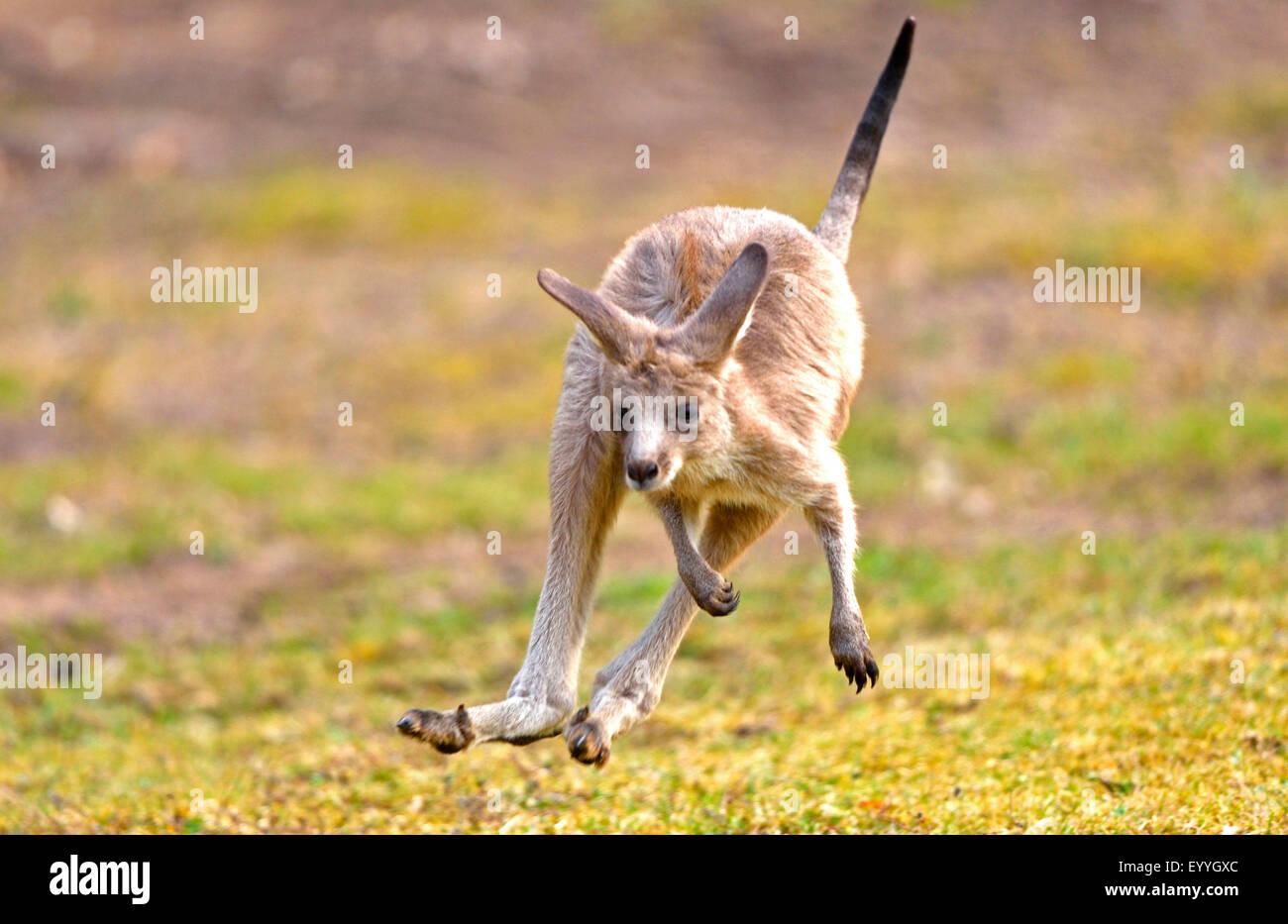 eastern gray kangaroo (Macropus giganteus), juvenile in a meadow - Stock Image