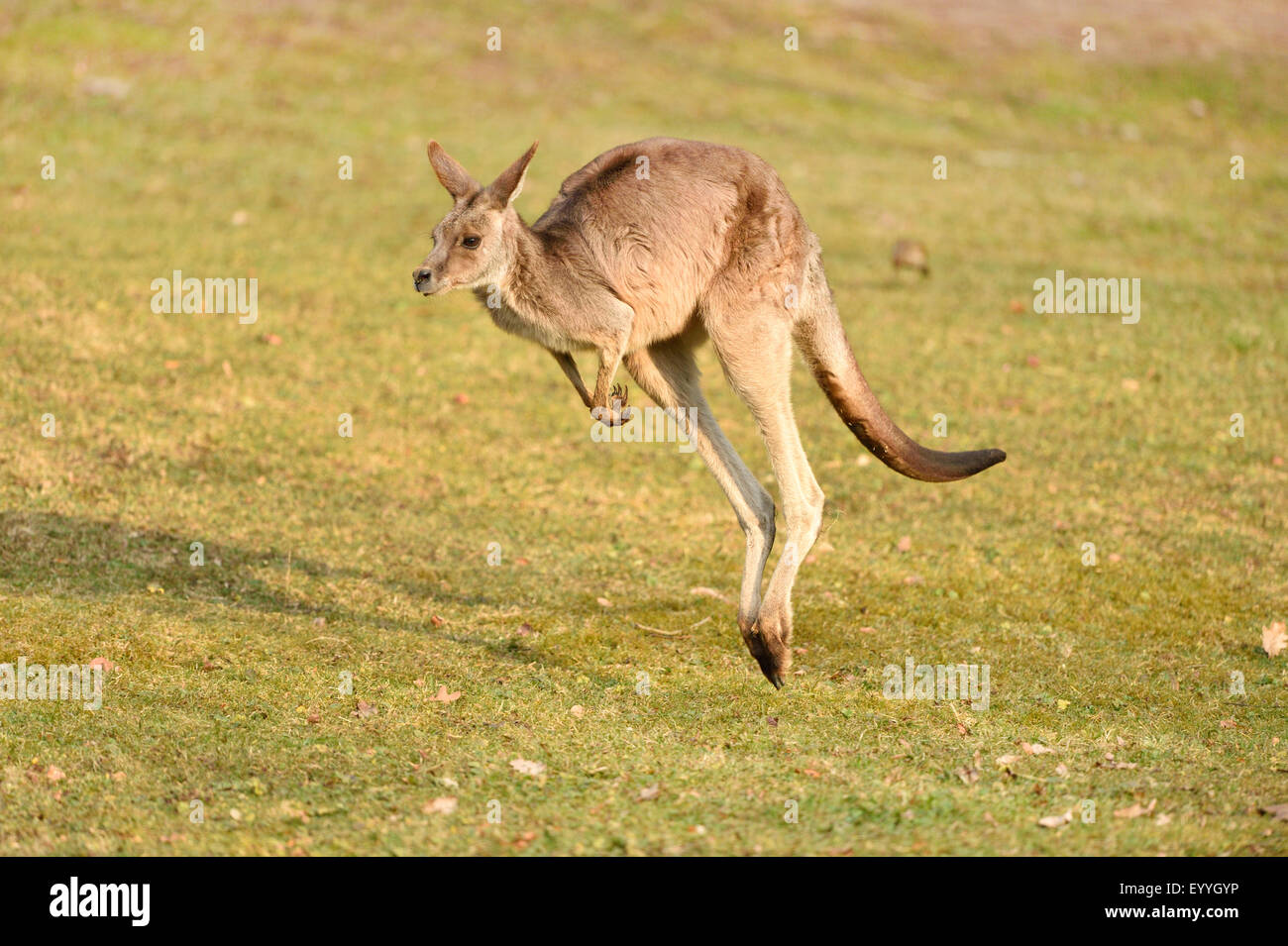 eastern gray kangaroo (Macropus giganteus), jumping - Stock Image