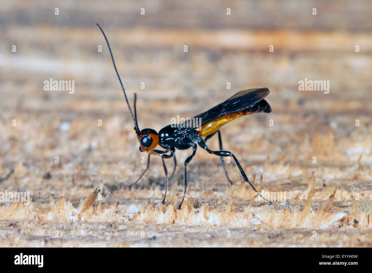 parasitoid wasp (Bracon spec), male - Stock Image