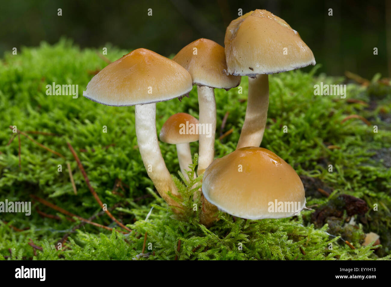 Conifer tuft (Hypholoma capnoides), in moss, Germany - Stock Image