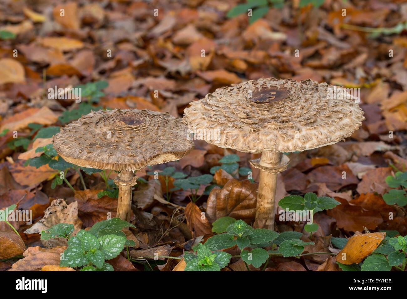 Shaggy parasol (Chlorophyllum rachodes, Macrolepiota rachodes, Chlorophyllum racodes, Macrolepiota racodes), in - Stock Image