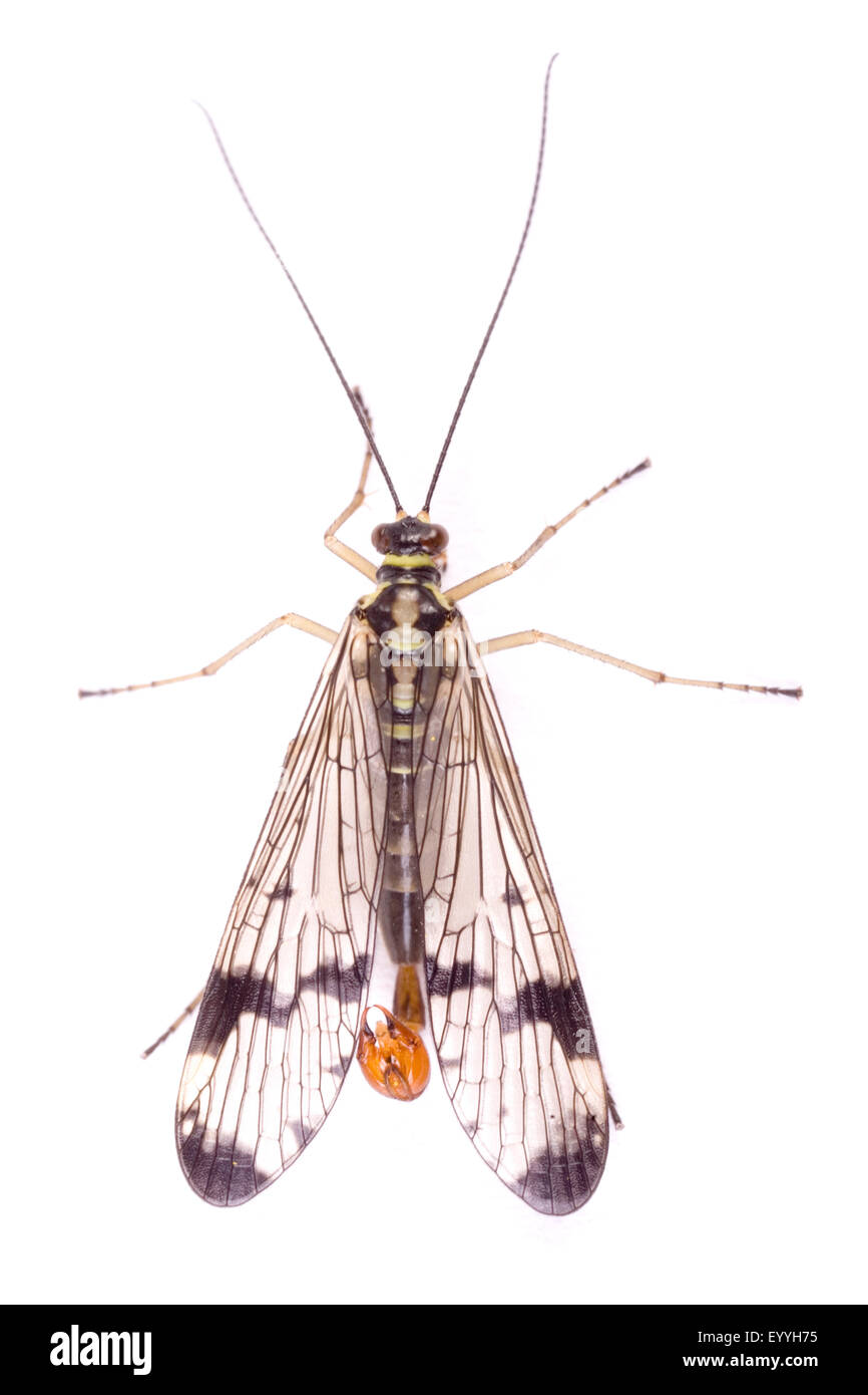 common scorpionfly (Panorpa communis), male, cut-out Stock Photo