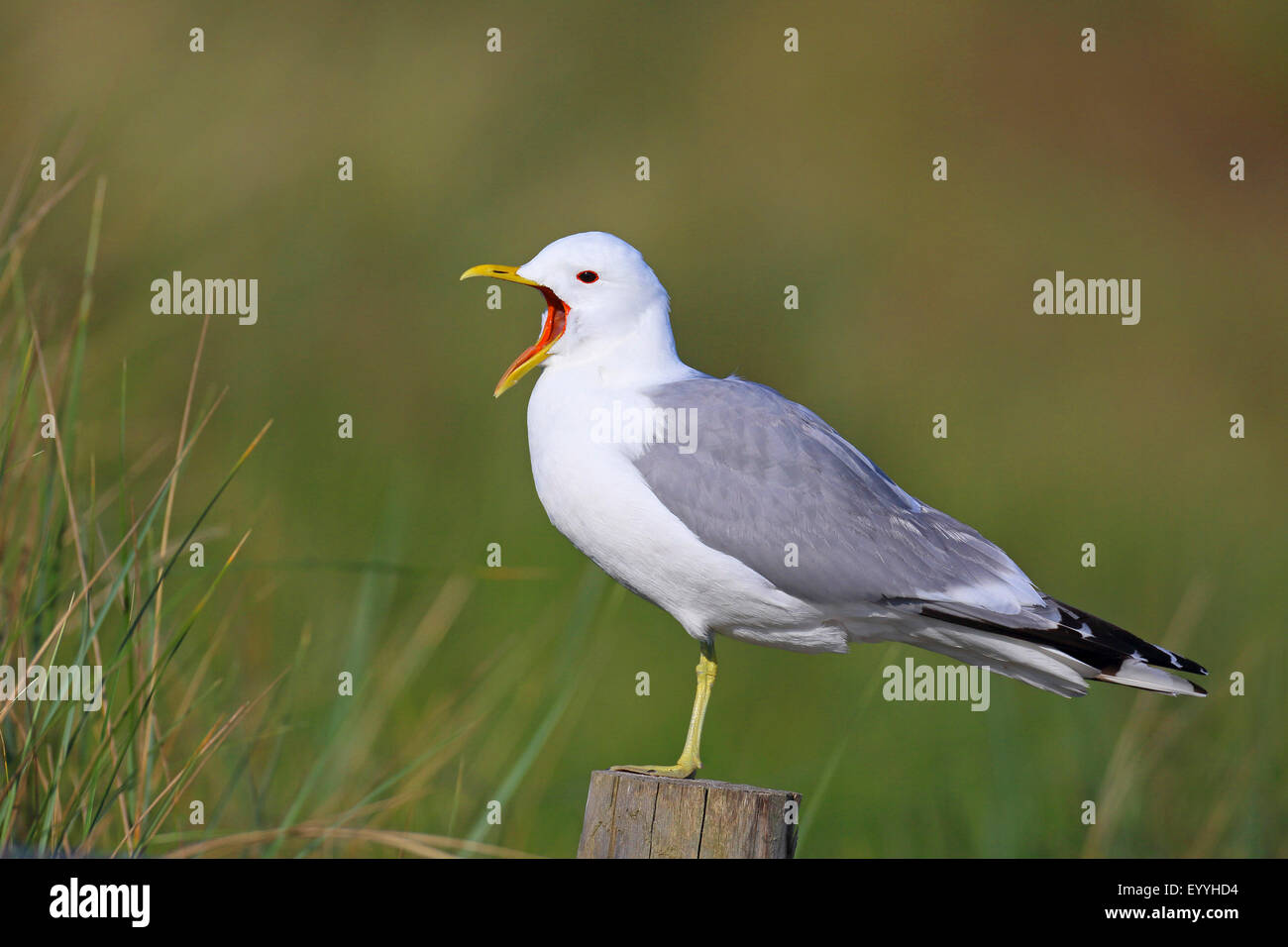 mew gull (Larus canus), calling on a fence post, Netherlands, Texel - Stock Image