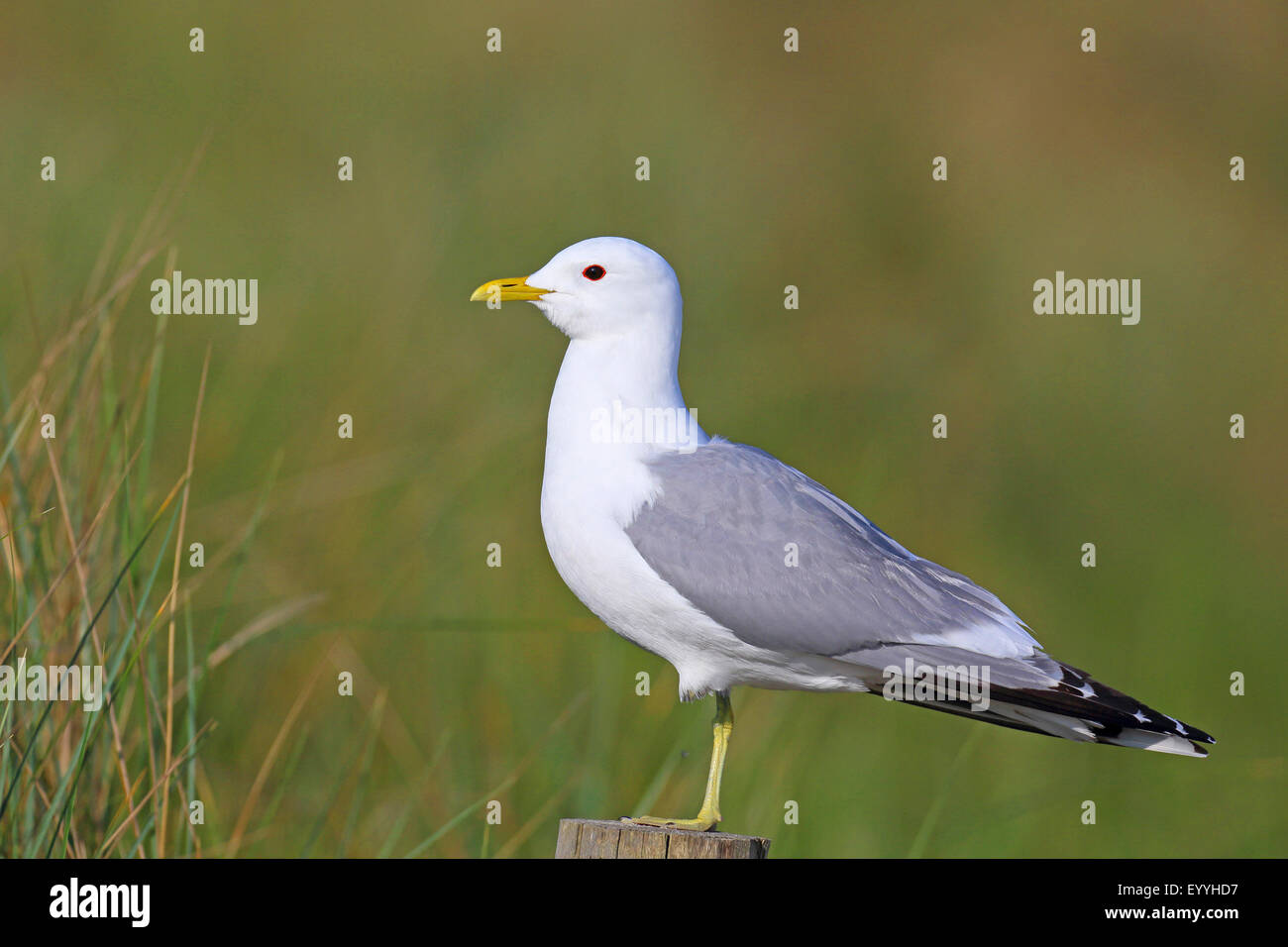 mew gull (Larus canus), on a fence post, Netherlands, Texel - Stock Image