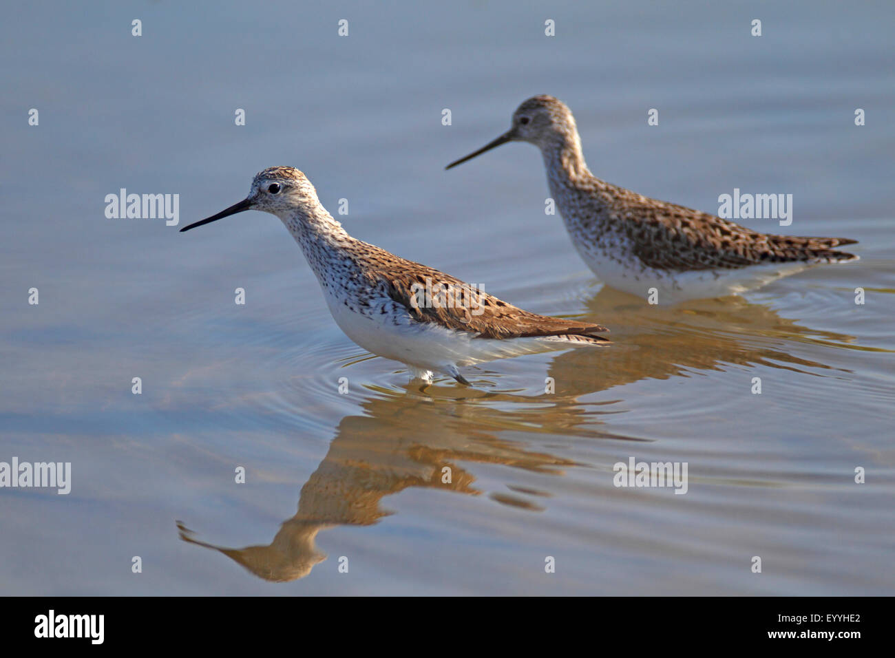 marsh sandpiper (Tringa stagnatilis), two birds wading in shallow water, Greece, Lesbos - Stock Image