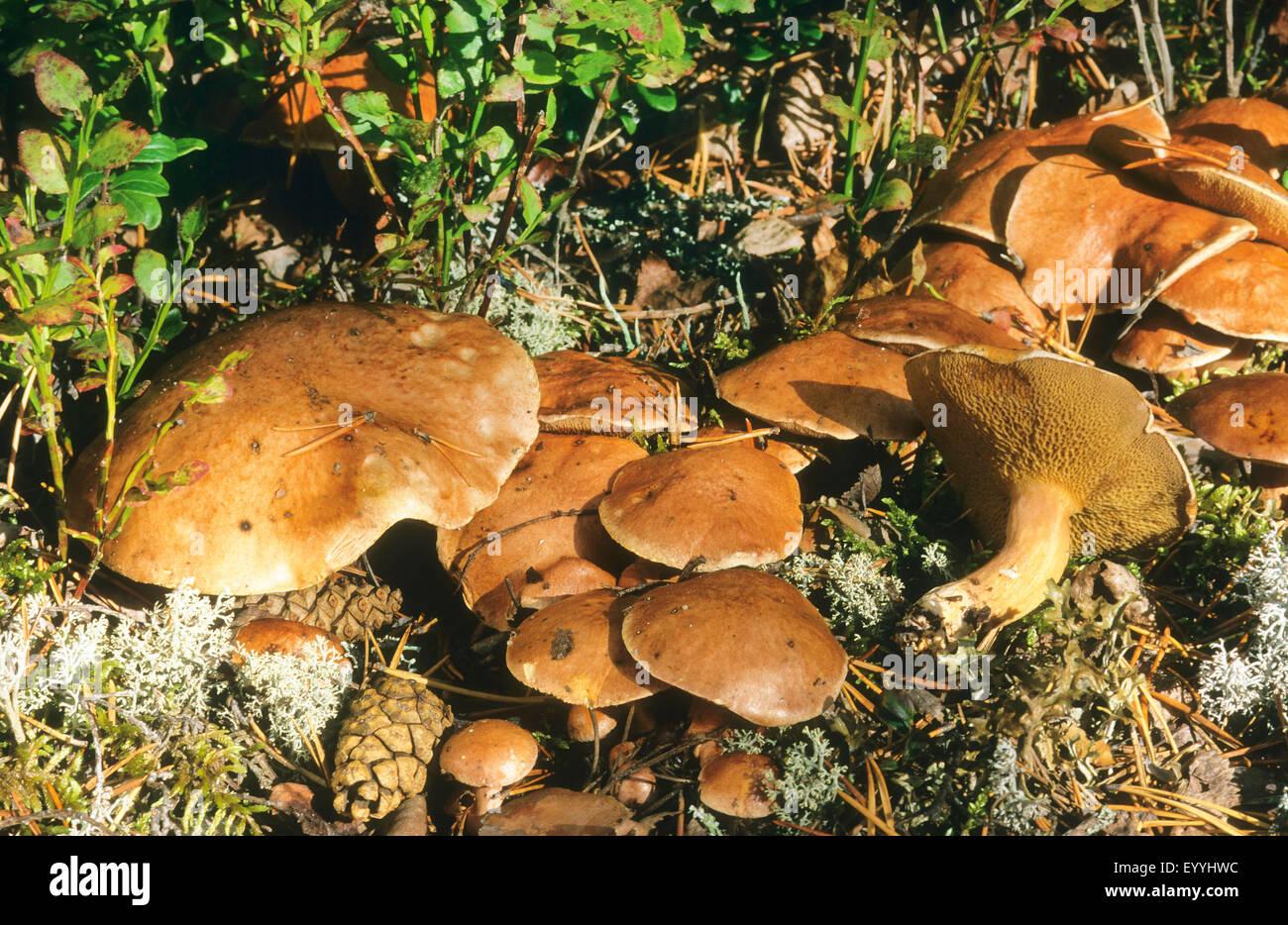 bovine bolete (Suillus bovinus), fruiting bodies on forest ground, Germany - Stock Image