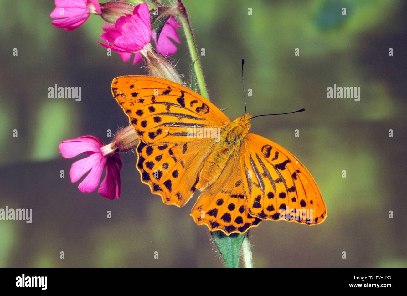 silver-washed fritillary (Argynnis paphia), male at a blooming stem, Germany - Stock Image