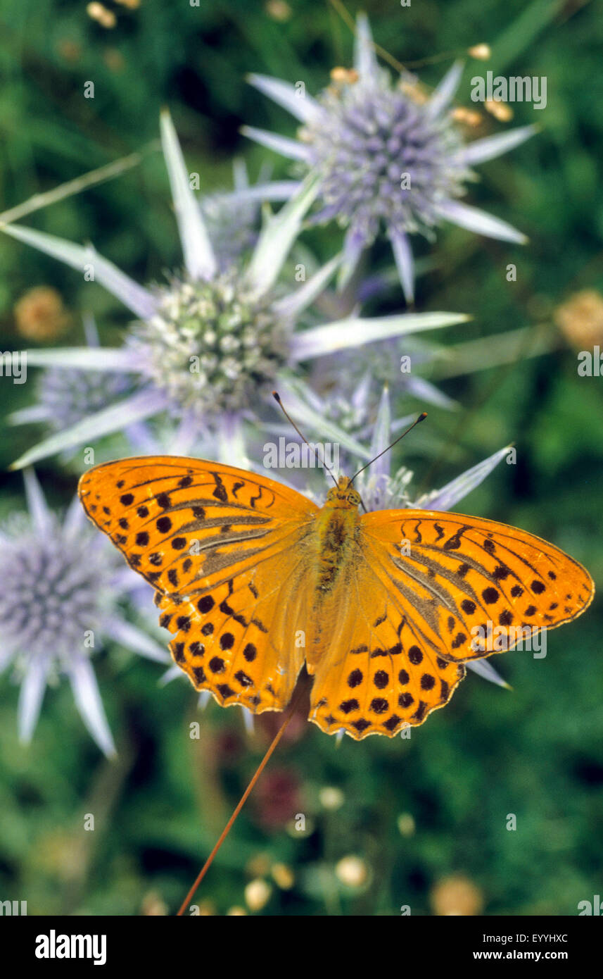 silver-washed fritillary (Argynnis paphia), male on umbell flowers, Germany - Stock Image