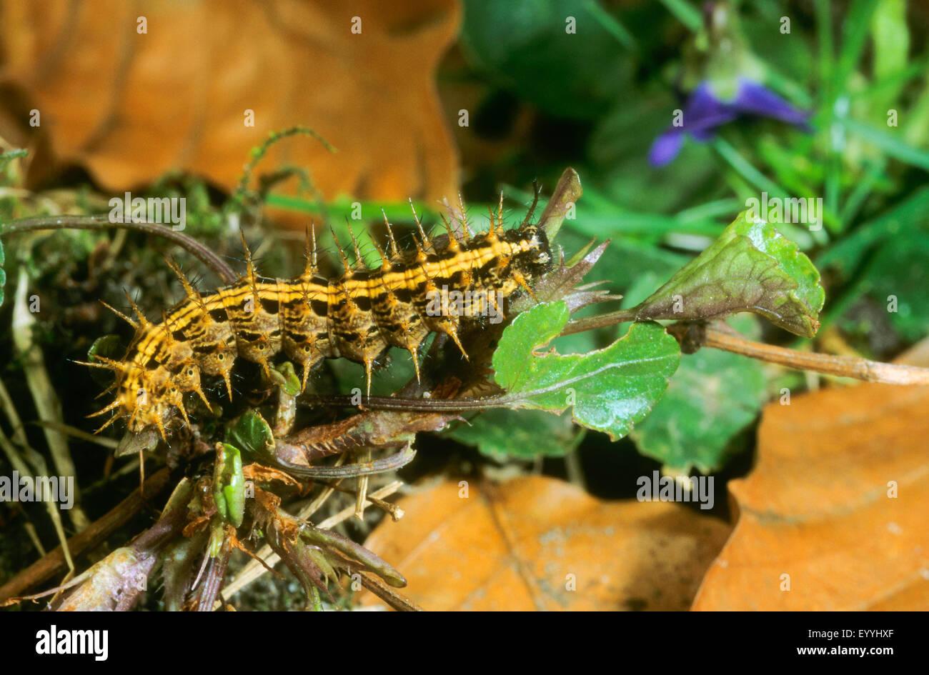 silver-washed fritillary (Argynnis paphia), caterpillar, Germany - Stock Image