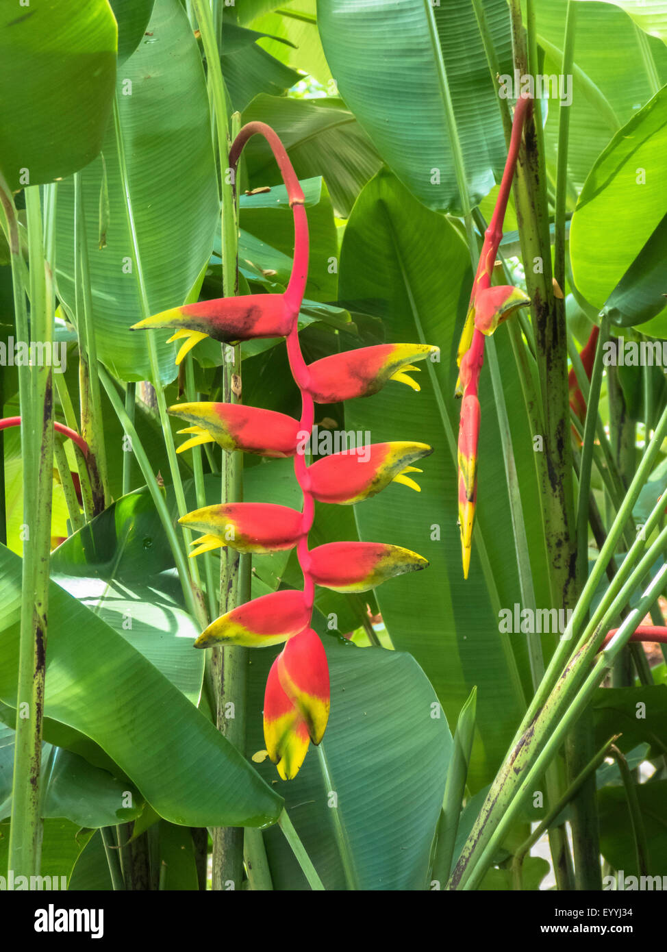 lobster claw heliconia (Heliconia rostrata), inflorescence, Singapore - Stock Image