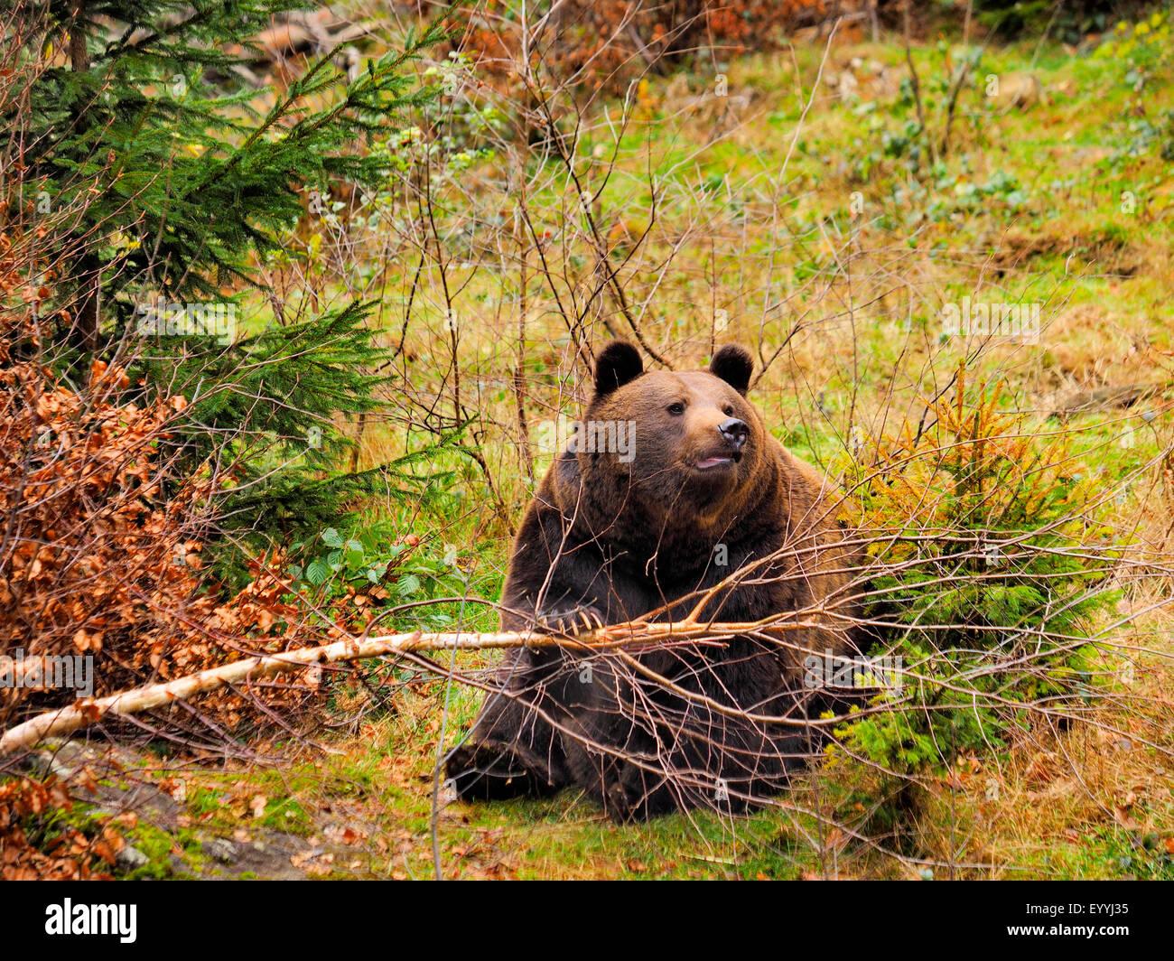 European brown bear (Ursus arctos arctos), bends over a young tree, Germany, Bavaria, Bavarian Forest National Park - Stock Image