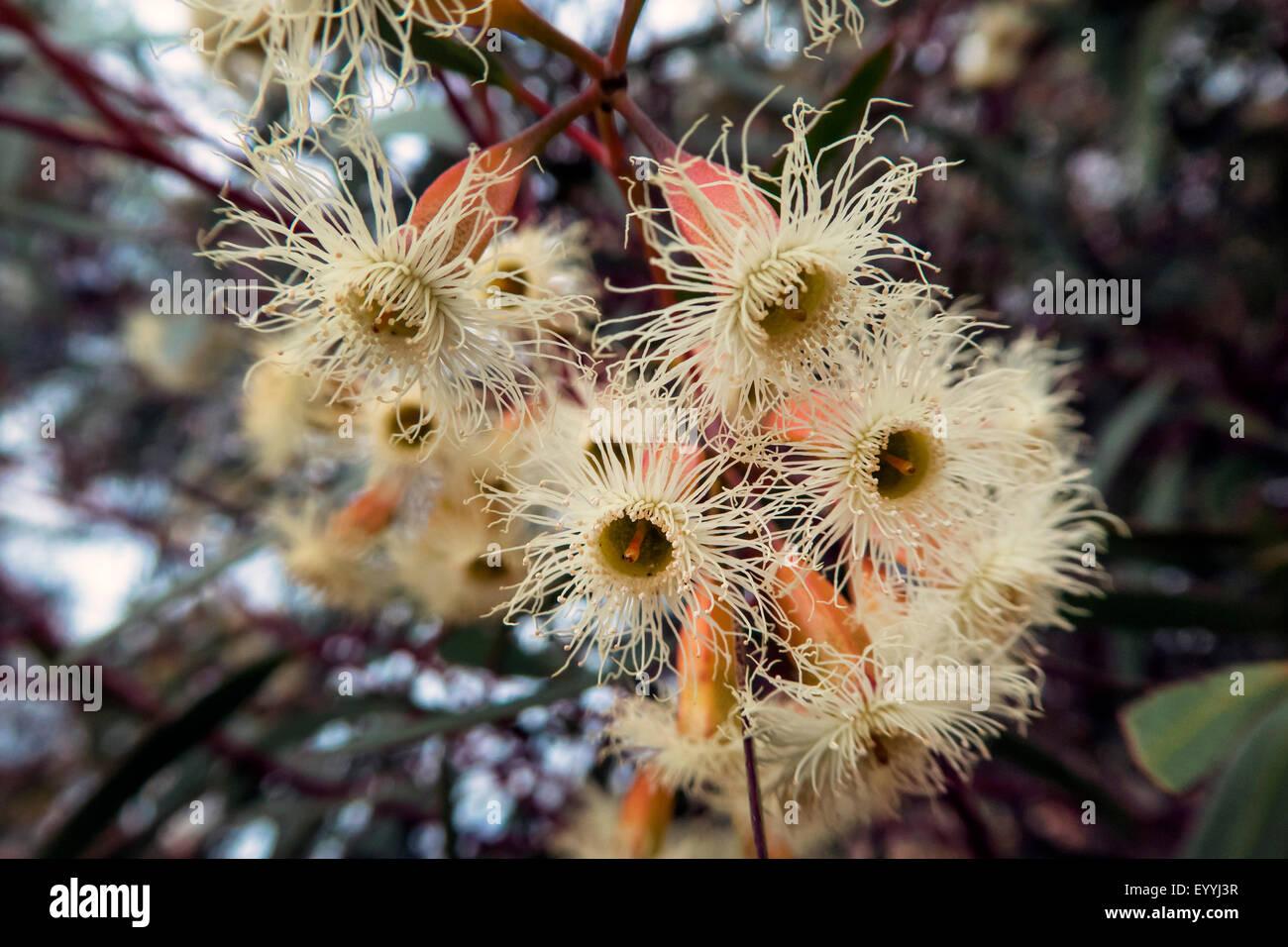 Snow Gum (Eucalyptus pauciflora), flowers, Australia, Western Australia - Stock Image