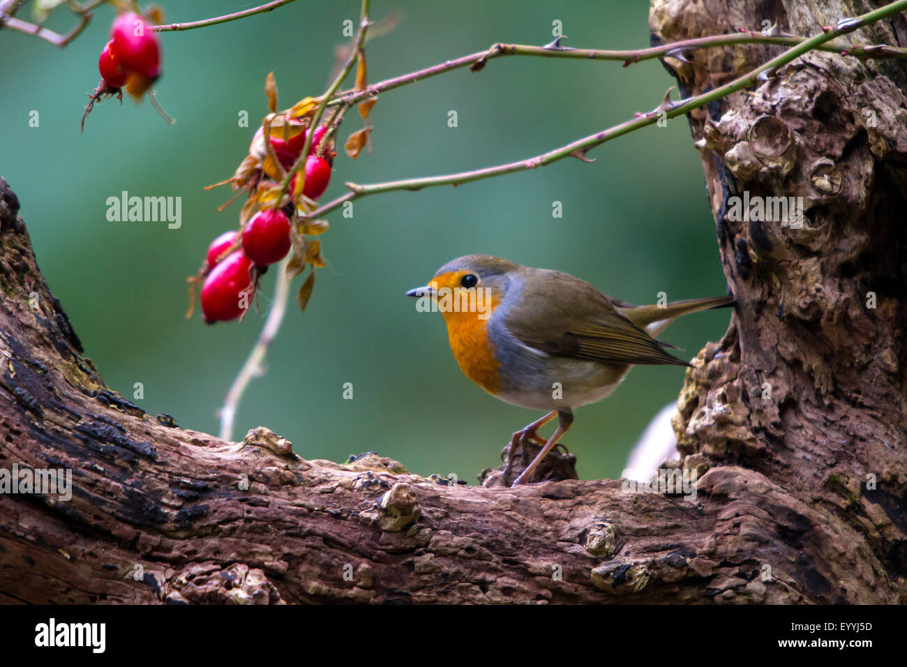 European robin (Erithacus rubecula), with rosehips on an old tree, Switzerland, Sankt Gallen, Rheineck - Stock Image