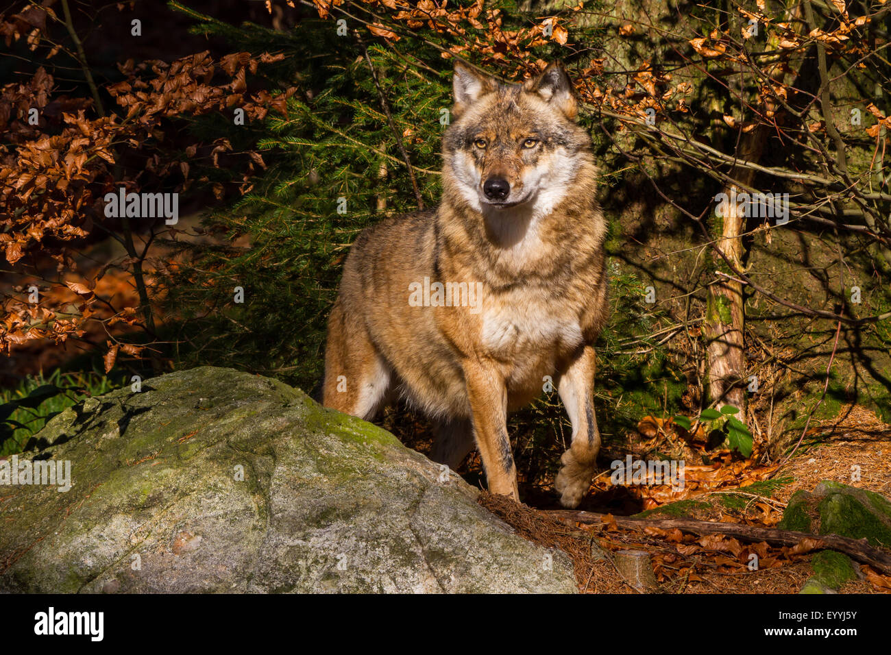 European gray wolf (Canis lupus lupus), standing watchfully at a rock in an autumn forest, Germany, Bavaria, Bavarian - Stock Image