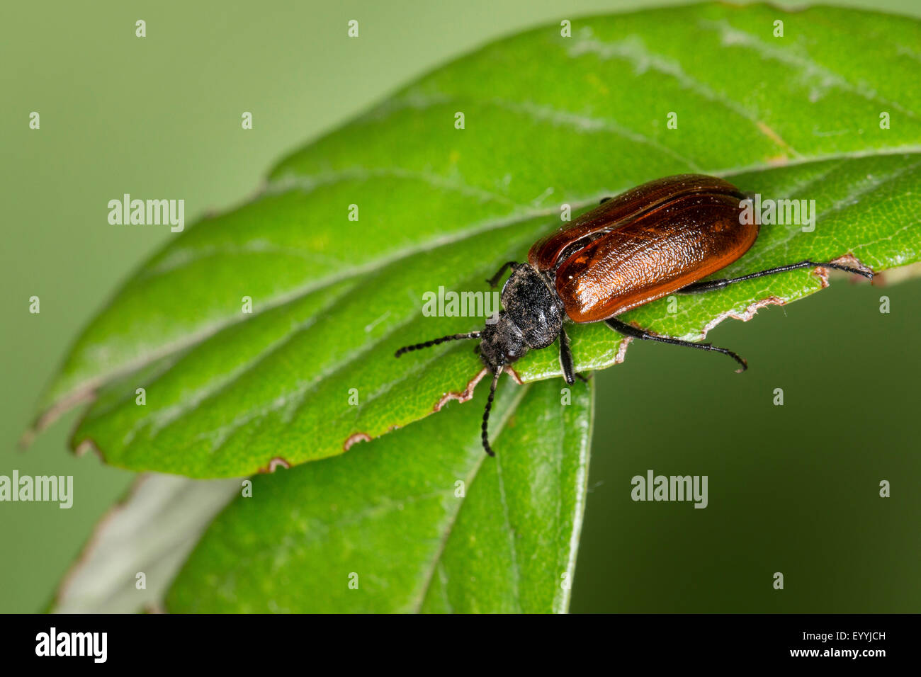 Comb-clawed beetle, Comb clawed beetle (Omophlus spec., Odontomophlus spec.), sitting on a leaf, Germany - Stock Image