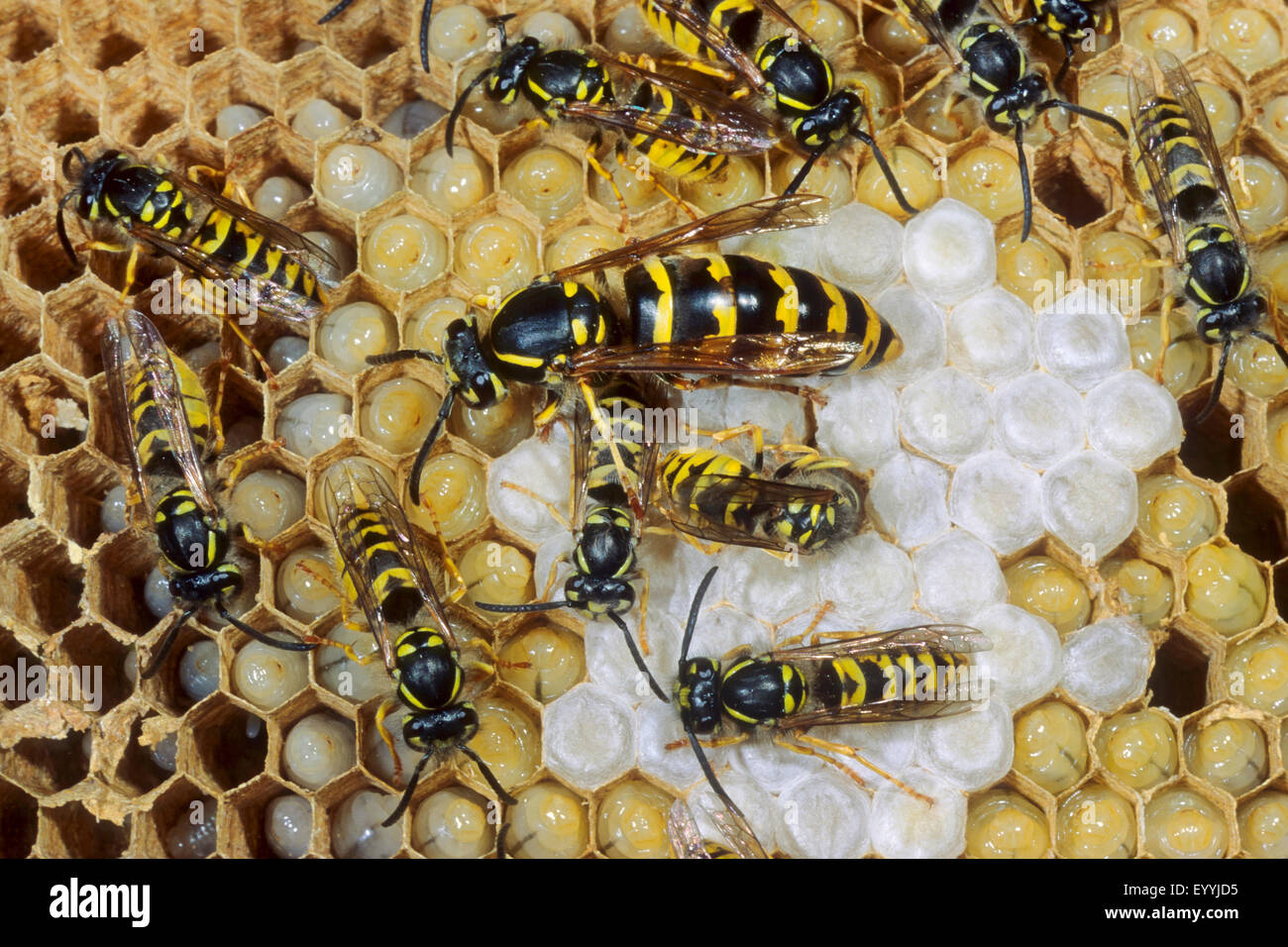 common wasp (Vespula vulgaris, Paravespula vulgaris), queen an dworkers in their nest, Germany Stock Photo