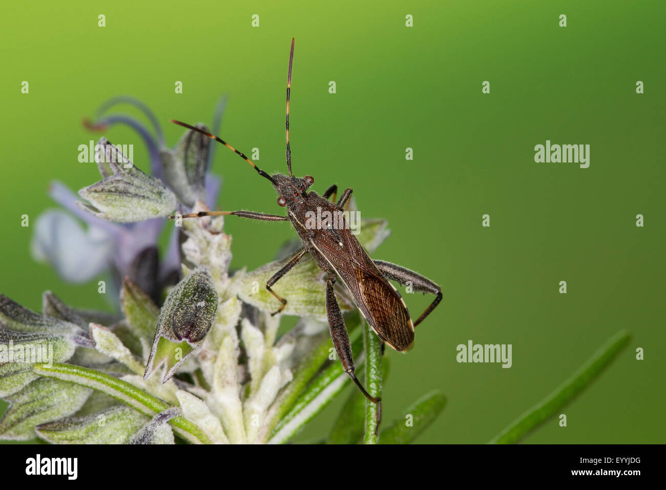 Broad-headed Bug (Camptopus lateralis), sitting on a flower, Germany - Stock Image