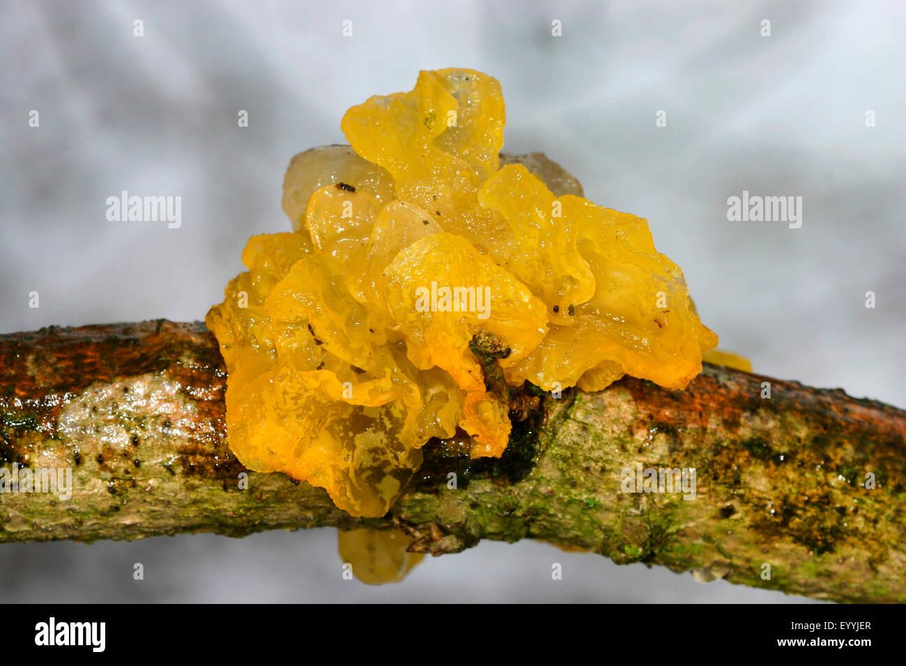 yellow brain (Tremella mesenterica), on deadwood, Germany - Stock Image