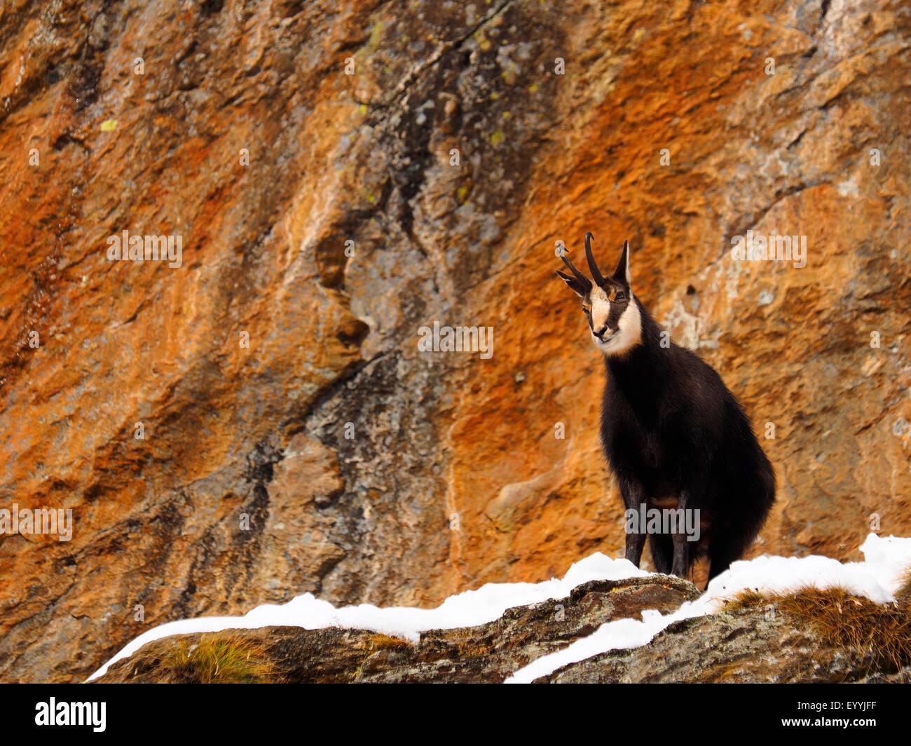 chamois (Rupicapra rupicapra), on rock wall, Italy, Gran Paradiso National Park - Stock Image