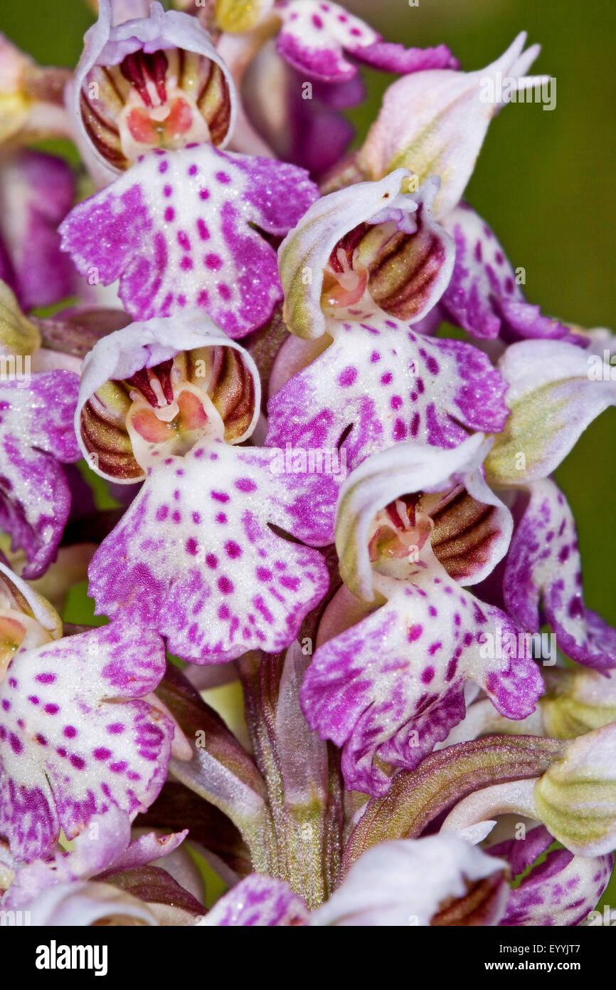 Milky Orchid (Orchis lactea, Neotinea lactea, Orchis tridentata ssp. lactea), inflorescence - Stock Image