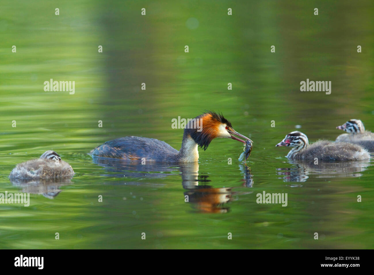 great crested grebe (Podiceps cristatus), adult bird with feed in the bill swimming with three young animals on - Stock Image