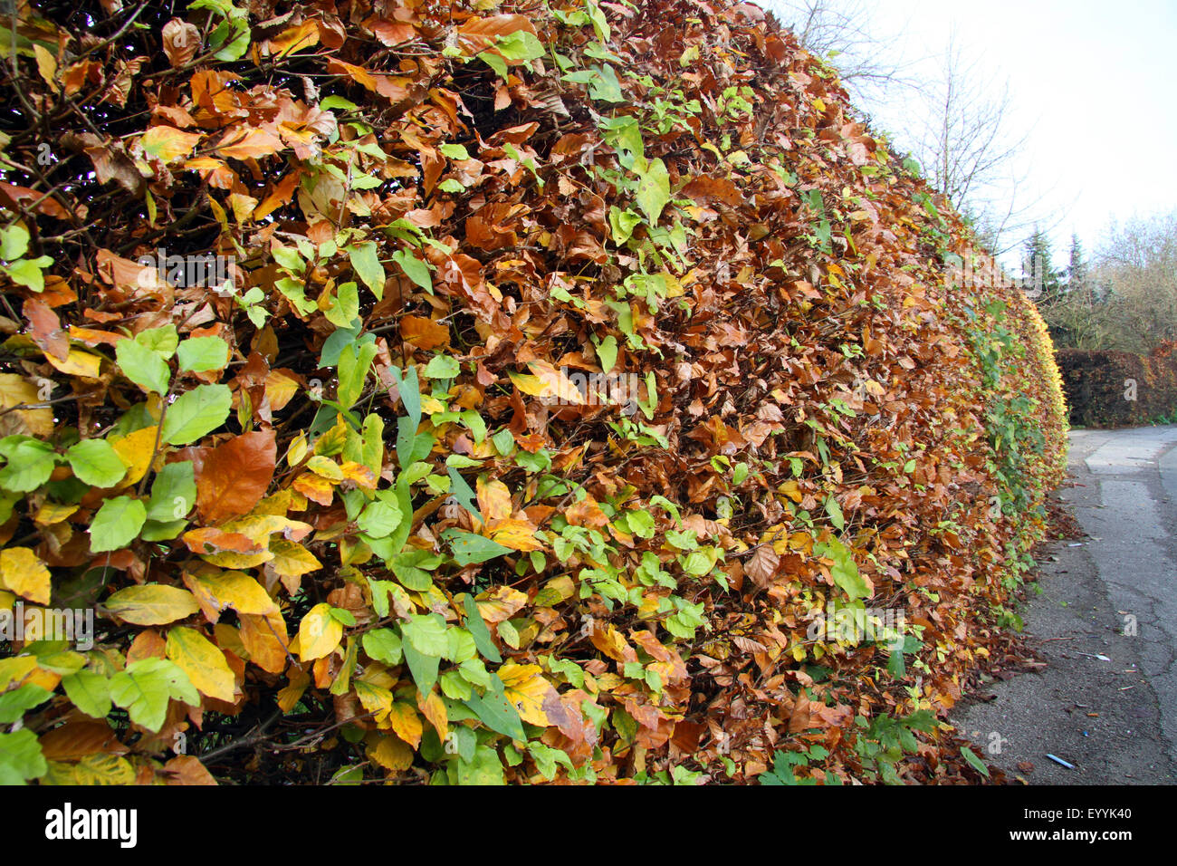 common beech (Fagus sylvatica), autumnal beech hedge as encircling to the street, Germany, North Rhine-Westphalia Stock Photo