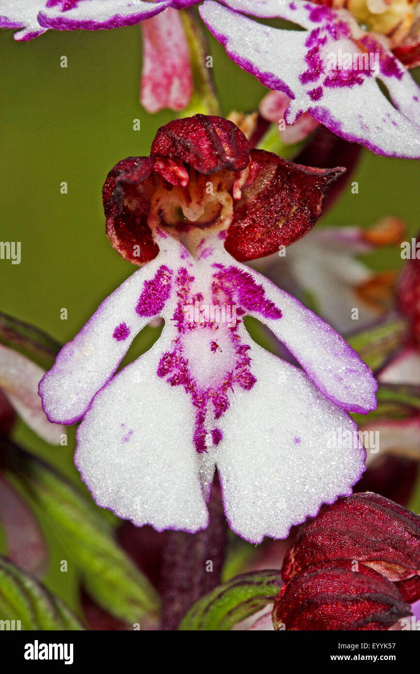 lady orchid (Orchis purpurea), single flower, Germany - Stock Image