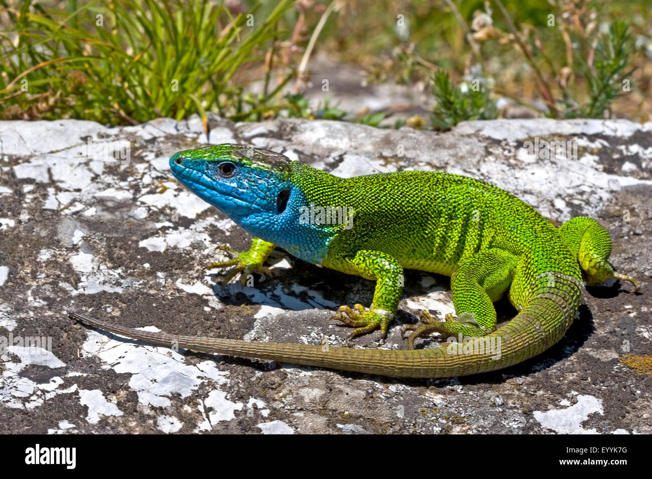 Eastern Green Lizard, European green lizard, Emerald lizard ...