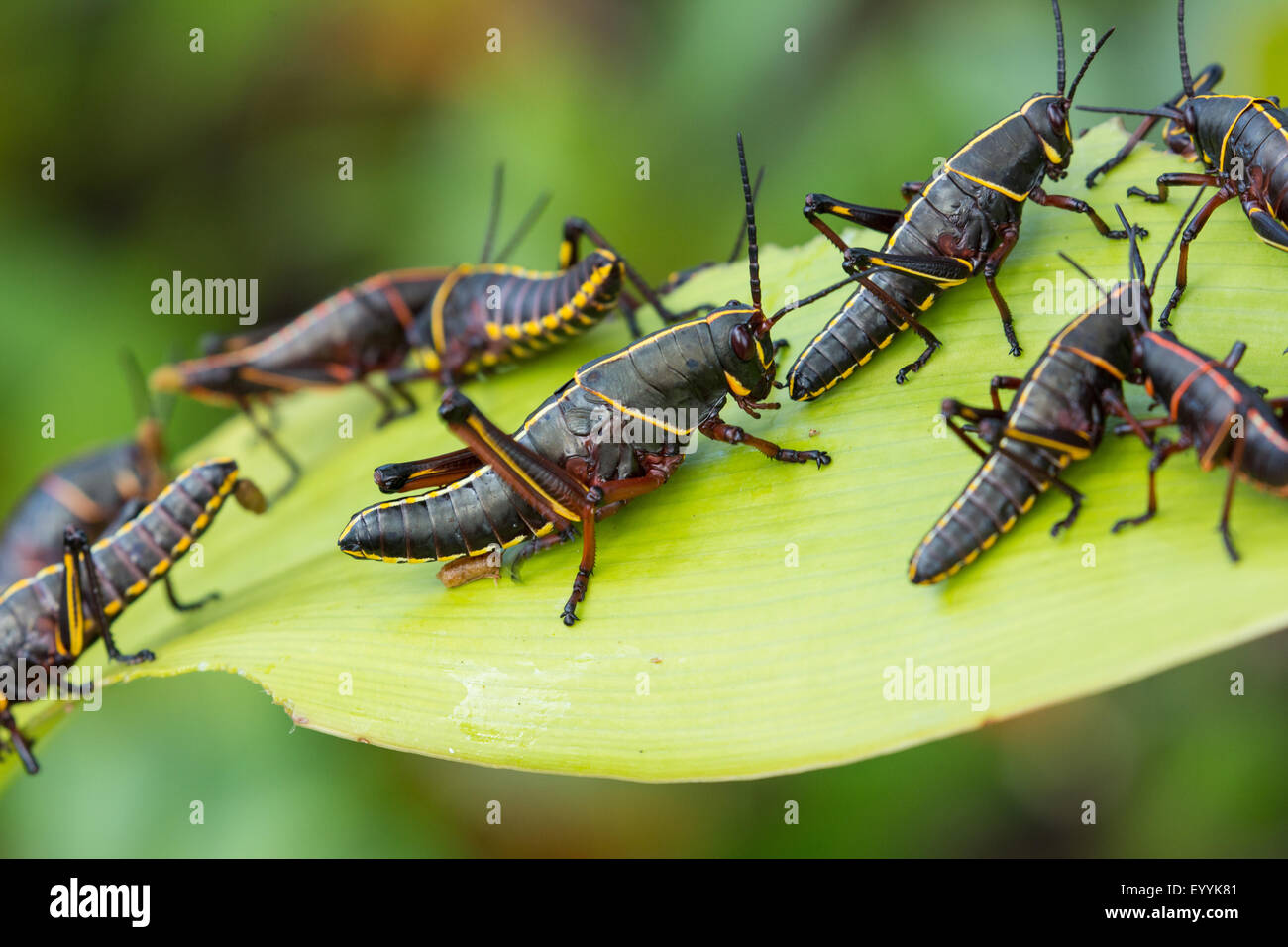 Eastern lubber grasshopper (Romalea microptera), several on feeding plant, USA, Florida - Stock Image