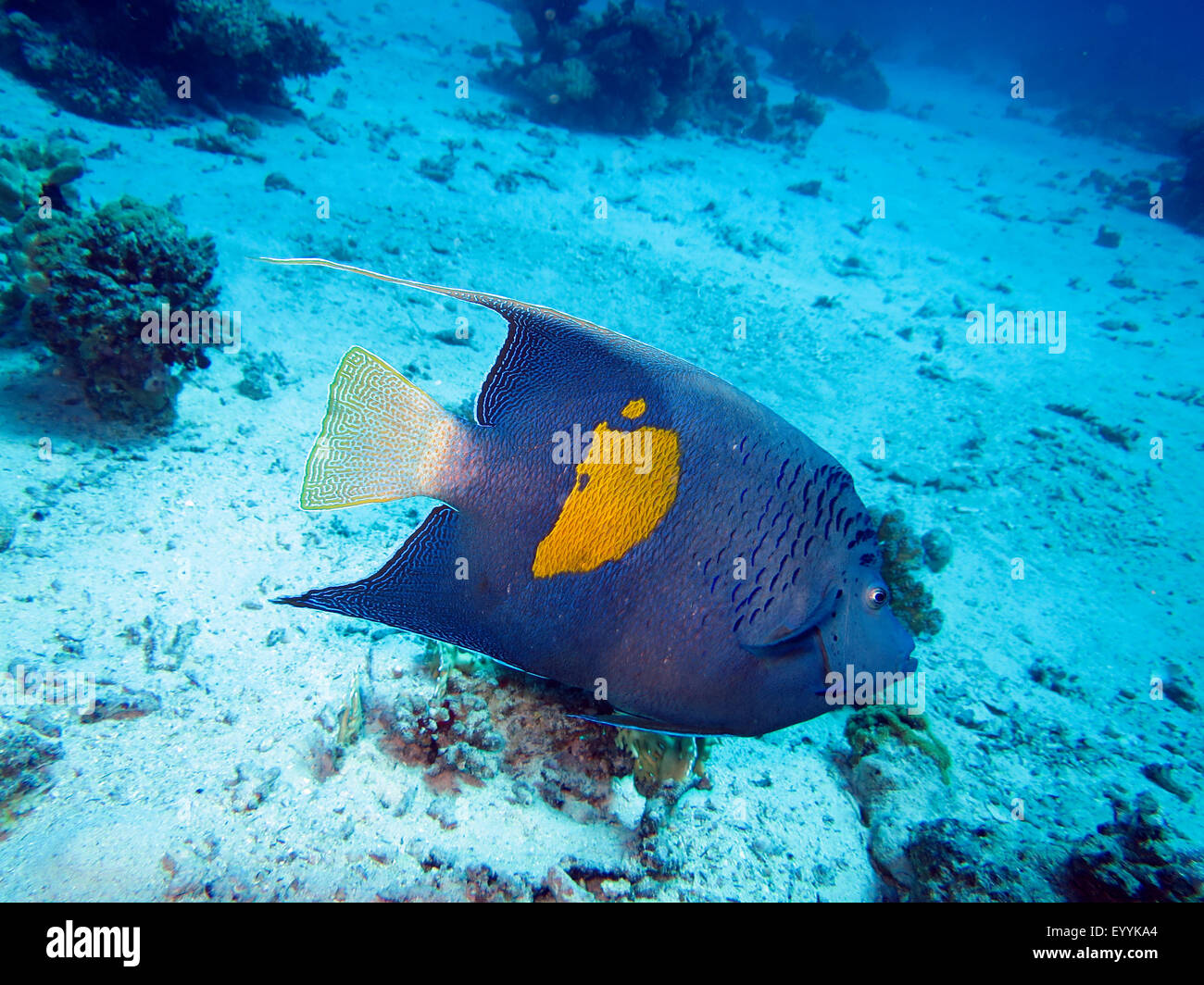yellow-blotch angelfish, Red Sea angelfish, blue moon angelfish, bride of the sea, yellowbar angelfish (Pomacanthus - Stock Image