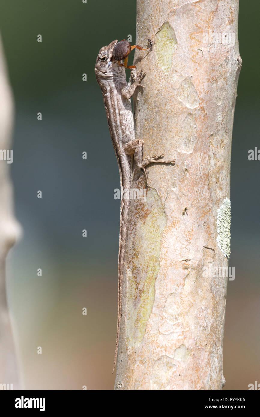 Brown anole, Cuban anole (Anolis sagrei, Norops sagrei), female feeds a cockroach, USA, Florida, Kissimmee Stock Photo