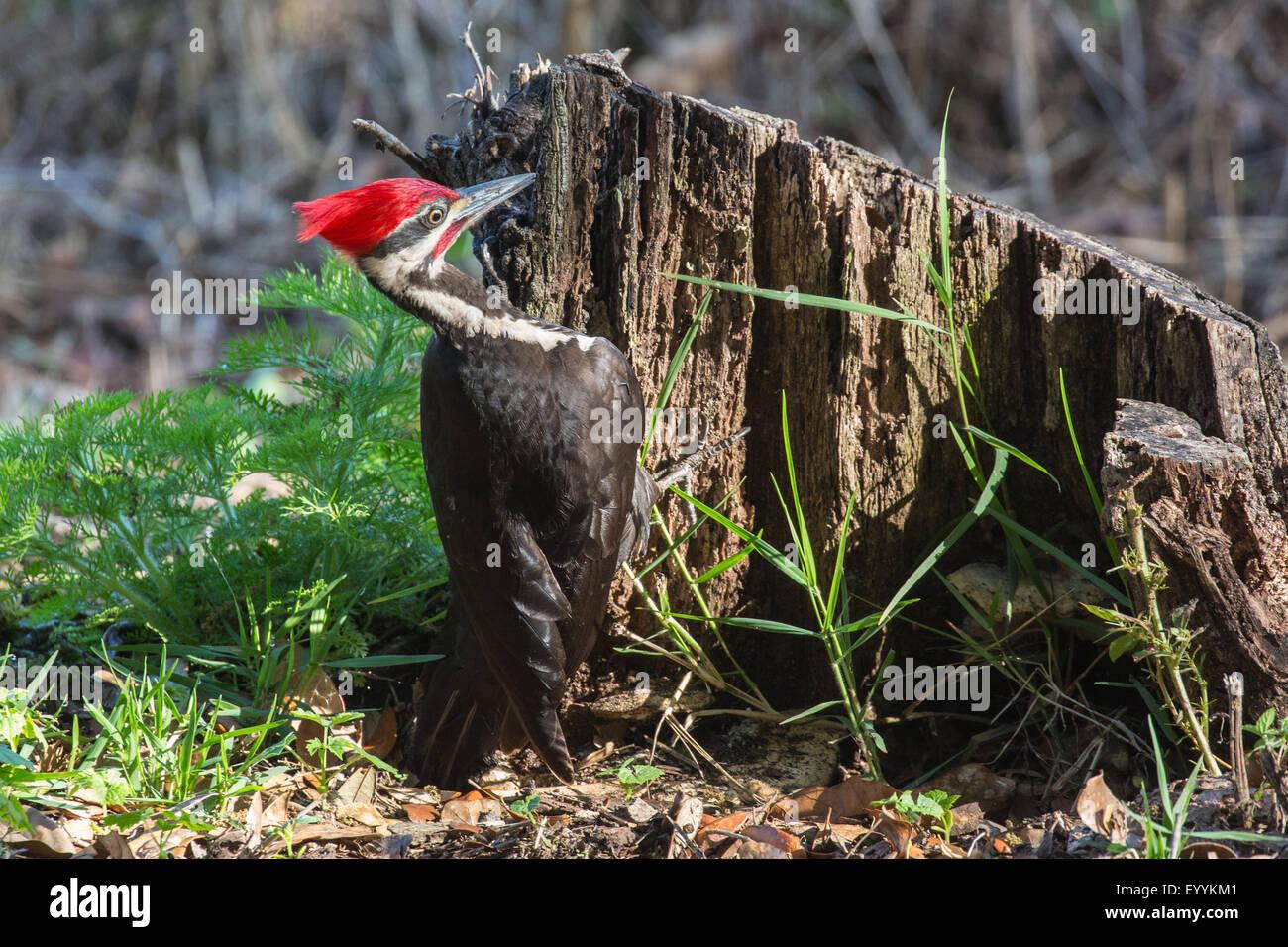Pileated woodpecker (Dryocopus pileatus), male on the feed at deadwood, USA, Florida, Kissimmee - Stock Image