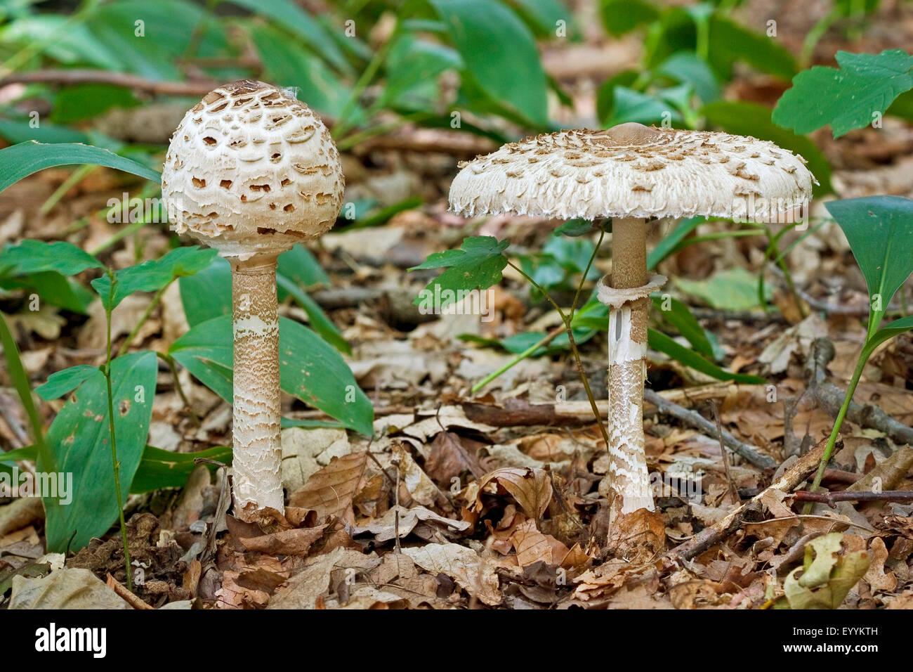 parasol (Macrolepiota procera, Lepiotia procera), two fruiting bodies on forest floor, Germany - Stock Image