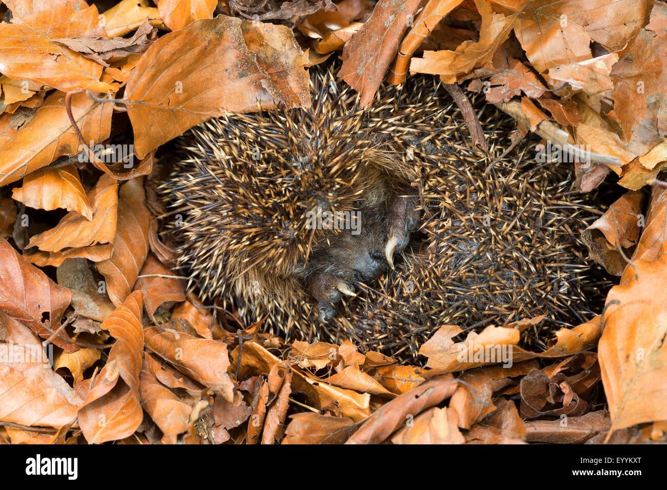 Western hedgehog, European hedgehog (Erinaceus europaeus), overwintering in leaf litter, Germany - Stock Image