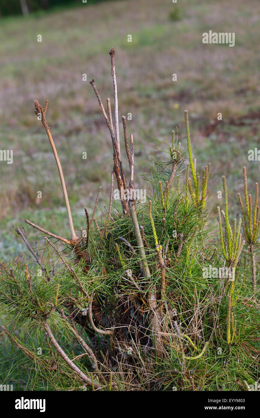 roe deer (Capreolus capreolus), burrows of searching food, damage caused by game at a pine, Germany Stock Photo