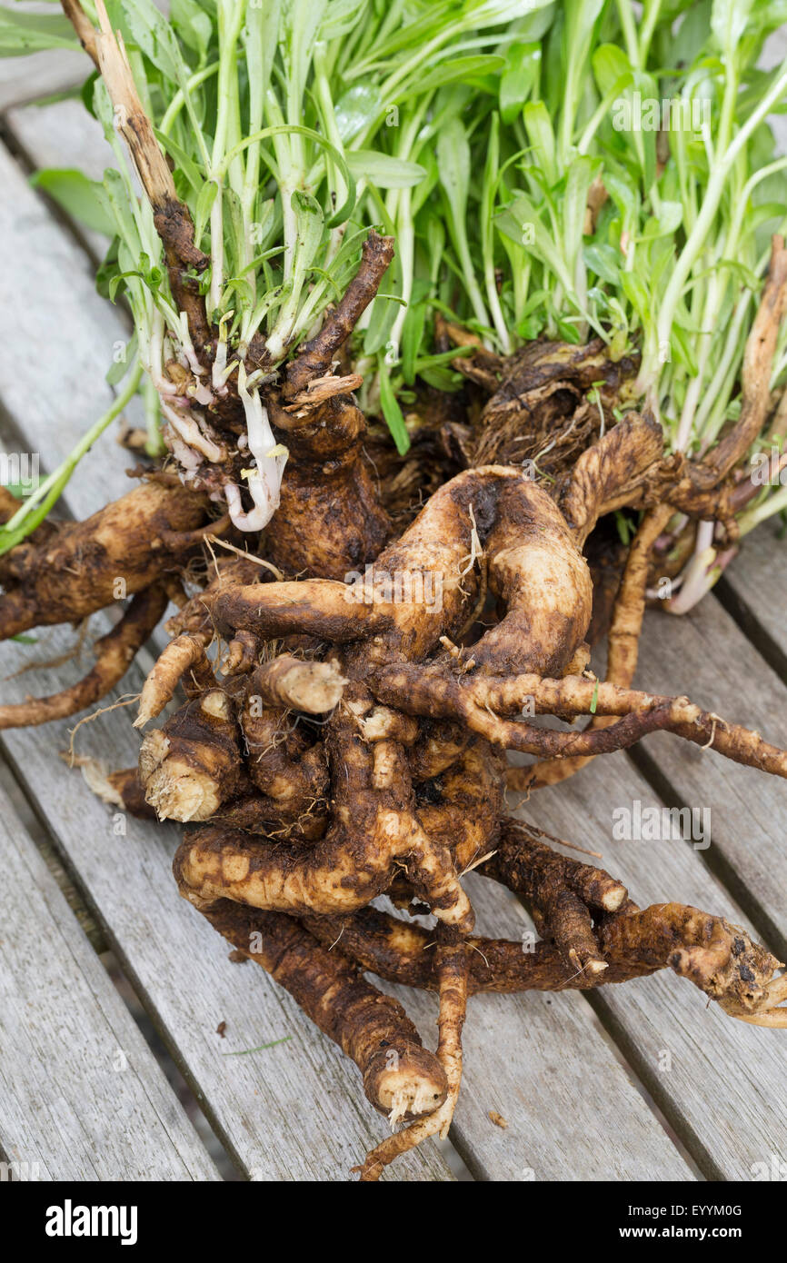 Bouncingbet, Bouncing-bet, Soapwort (Saponaria officinalis), plant with rootstock, Germany - Stock Image