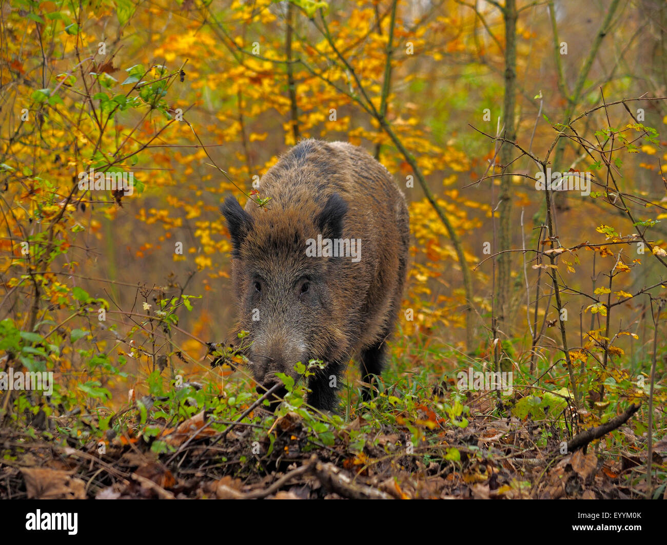 wild boar, pig, wild boar (Sus scrofa), wild sow standing in a shrubbery in autumn, Germany, Baden-Wuerttemberg - Stock Image