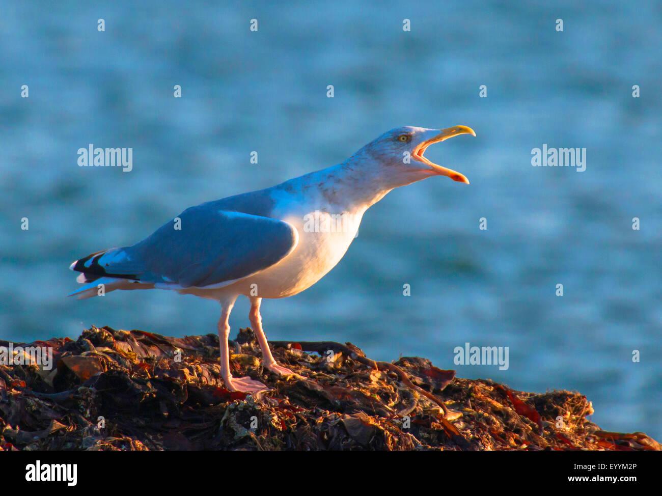 herring gull (Larus argentatus), calls, Germany, Schleswig-Holstein, Heligoland - Stock Image