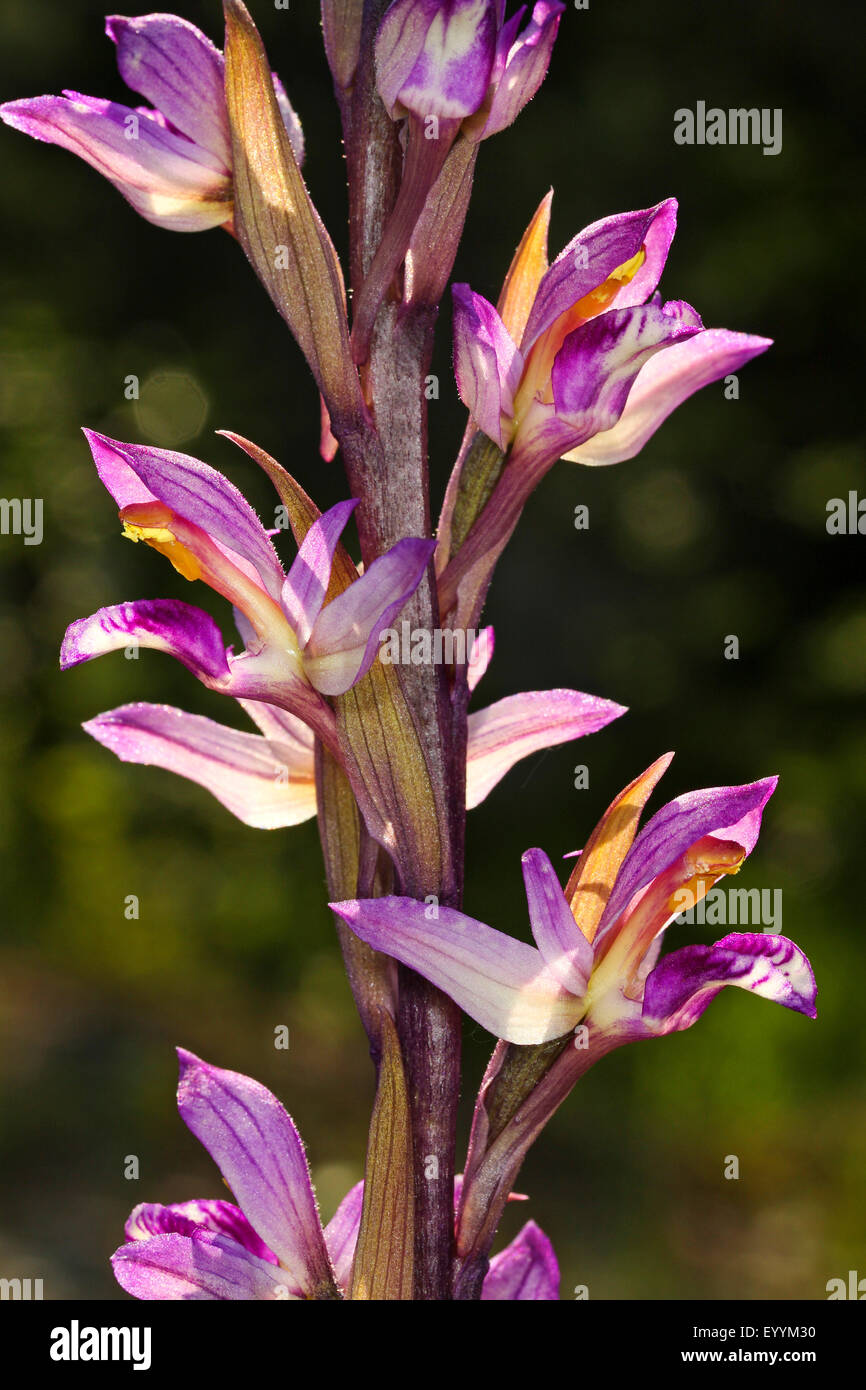 Crippled limodorum, Violet Limodore (Limodorum abortivum), inflorescence, detail, Germany - Stock Image