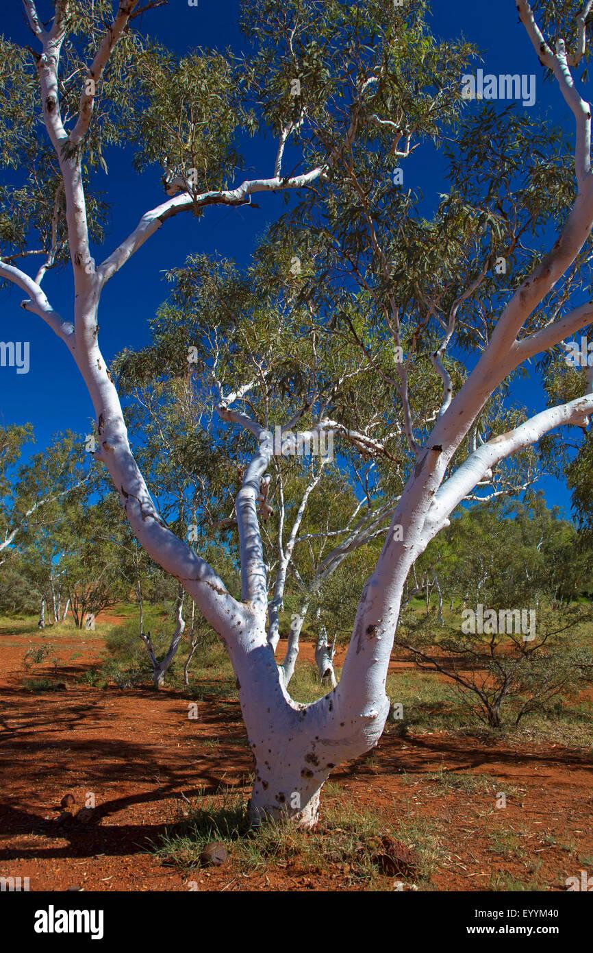 eucalyptus, gum (Eucalyptus spec.), eucalyptus in outback, Australia, Western Australia, Barradale - Stock Image