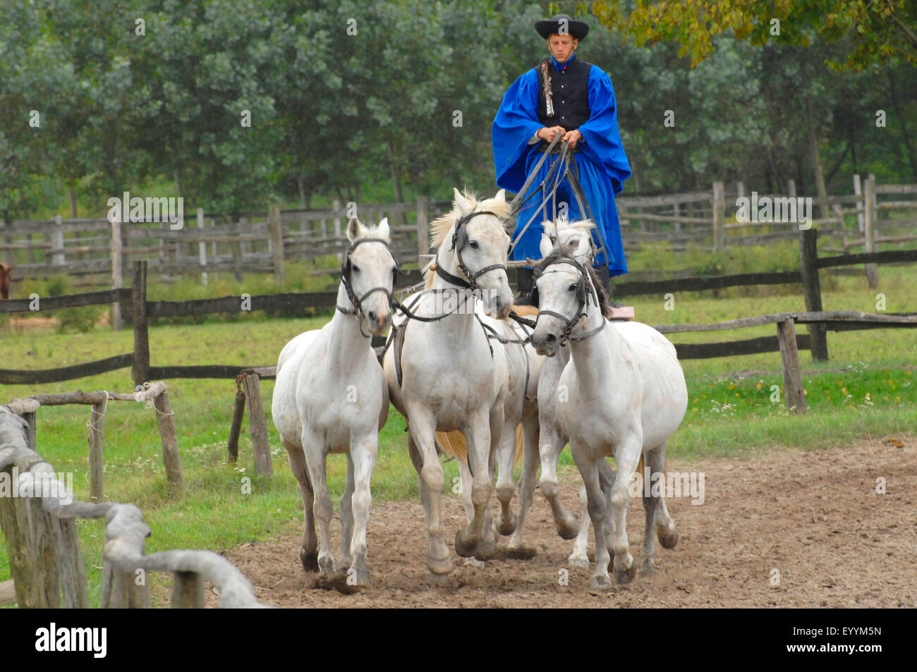 domestic horse (Equus przewalskii f. caballus), dressage exhibition of a horse herdsman in the puszta, Hungary, Stock Photo
